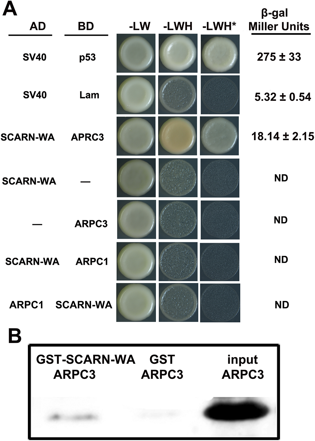 Assays of interaction between the WA domain of SCARN and ARPC1 and ARPC3.