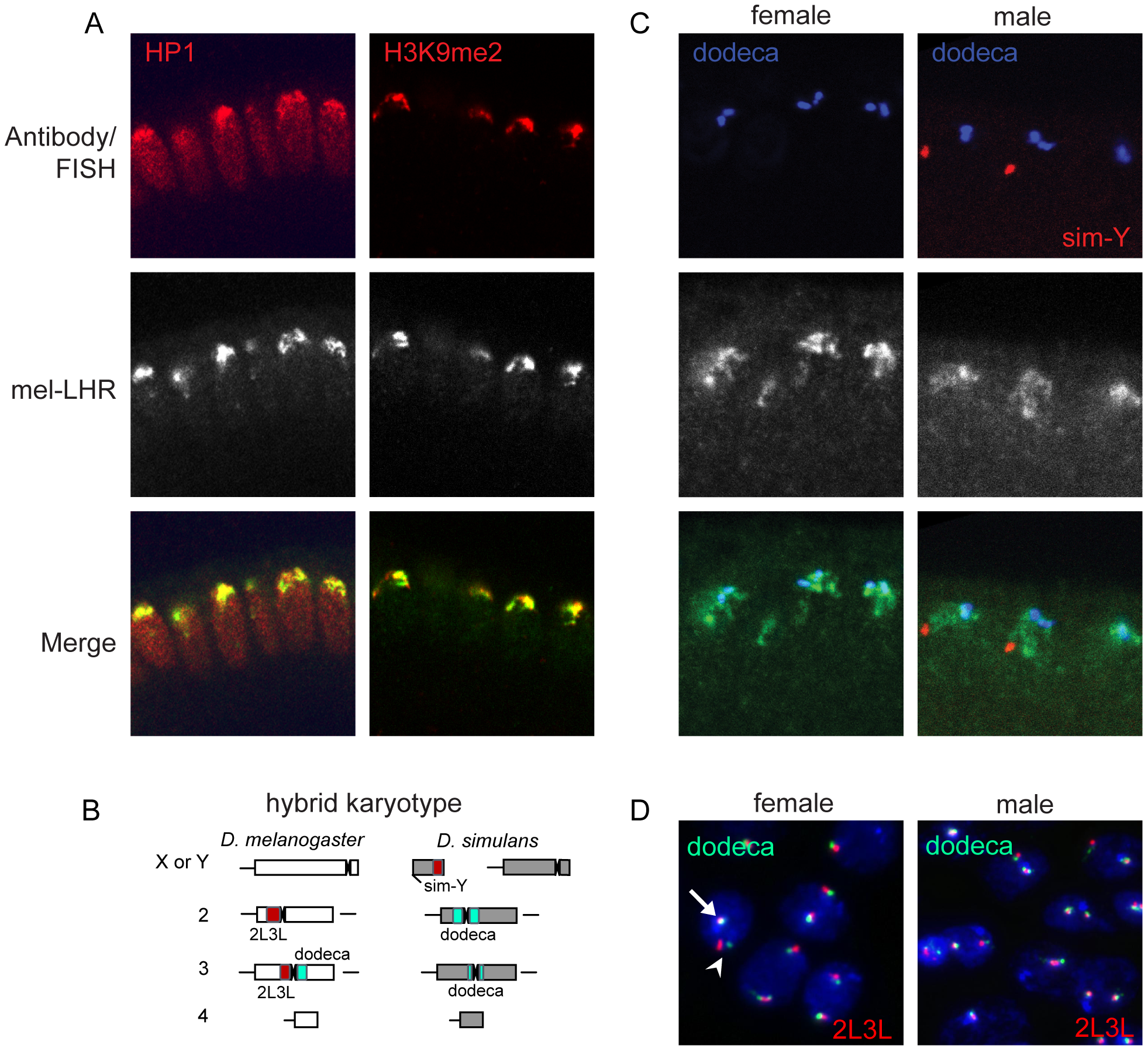 Normal LHR localization and organization of heterochromatin in hybrids.