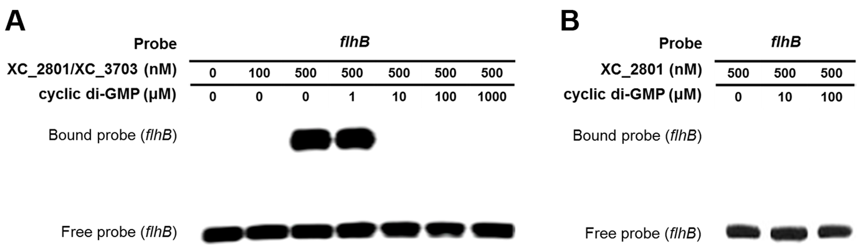 Binding of XC_2801//XC_3703 to the <i>flhBA</i> promoter is modulated by cyclic di-GMP.