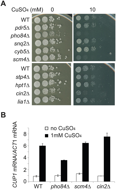 <i>PHO84</i>, <i>SCM4</i>, and <i>CIN2</i> are involved in copper tolerance.