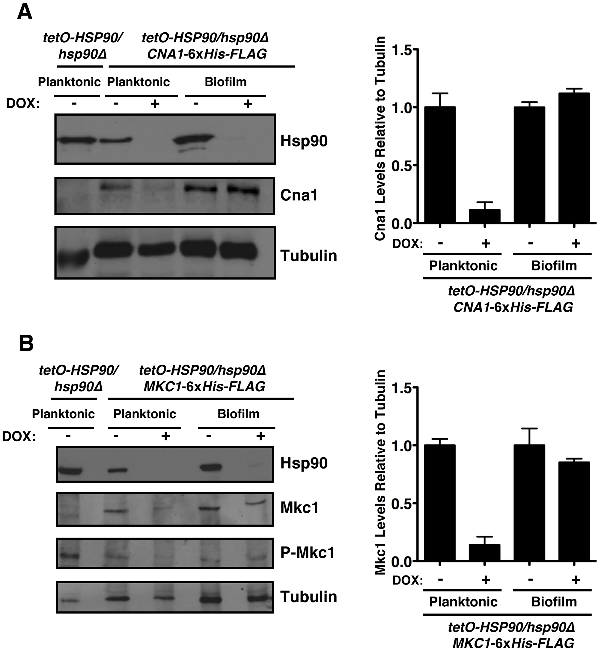 The Hsp90 client proteins Cna1 and Mkc1 exhibit reduced dependence on Hsp90 for stability under biofilm compared to planktonic conditions.