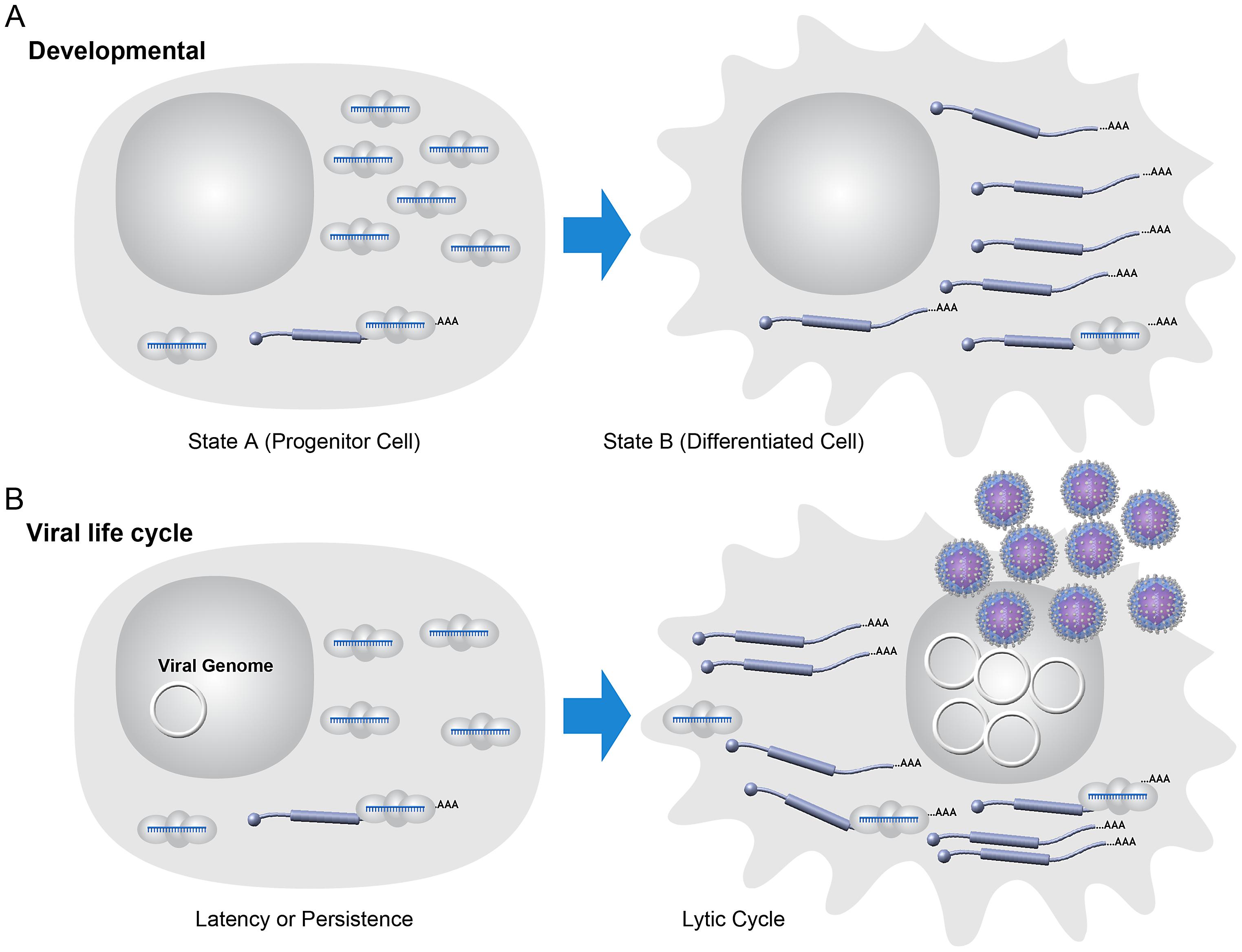 Model: viral latency as a simple developmental process.