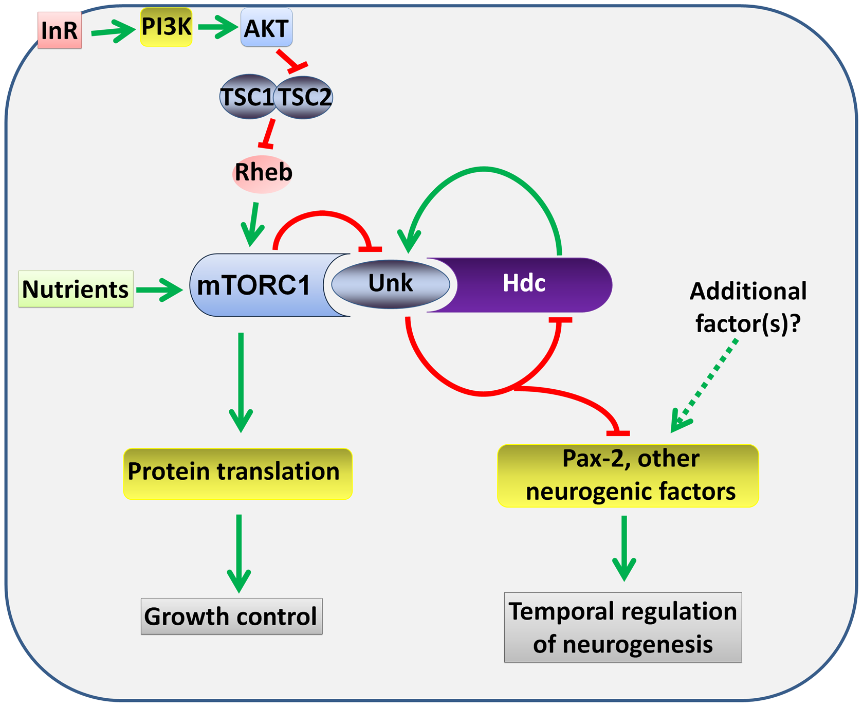 A model for the regulation of the timing of neuronal differentiation by the Unk/Hdc complex acting downstream of InR/mTOR signalling.