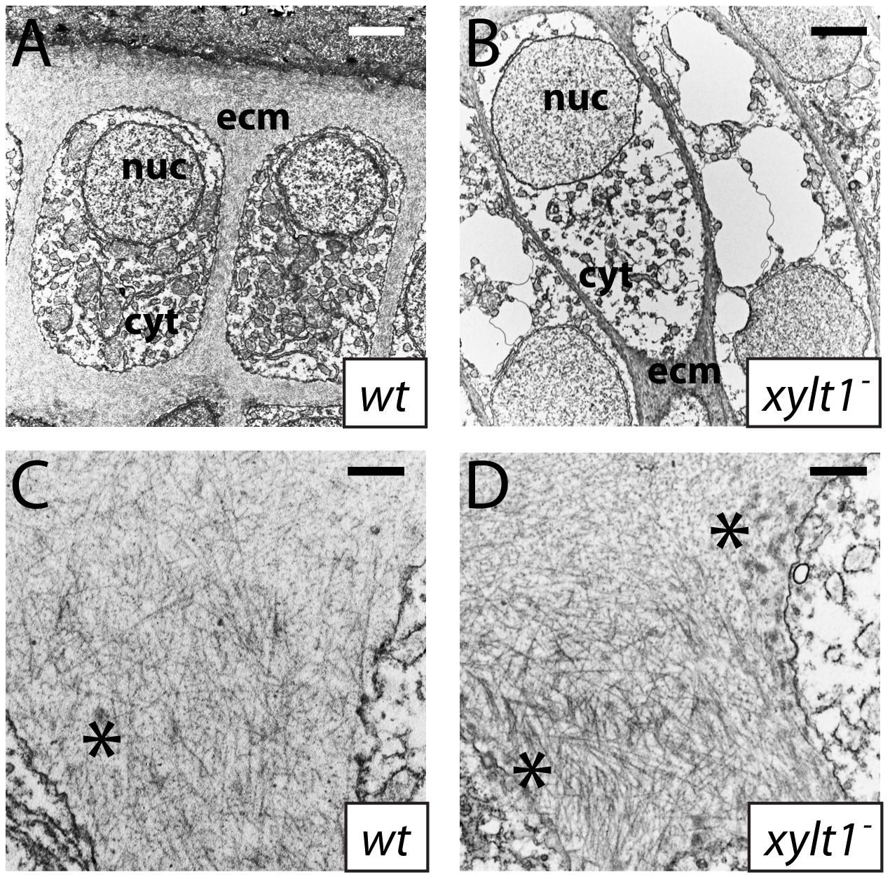 Ultrastructural evidence of premature chondrocyte hypertrophy and aberrant matrix production in <i>xylt1</i> mutants.