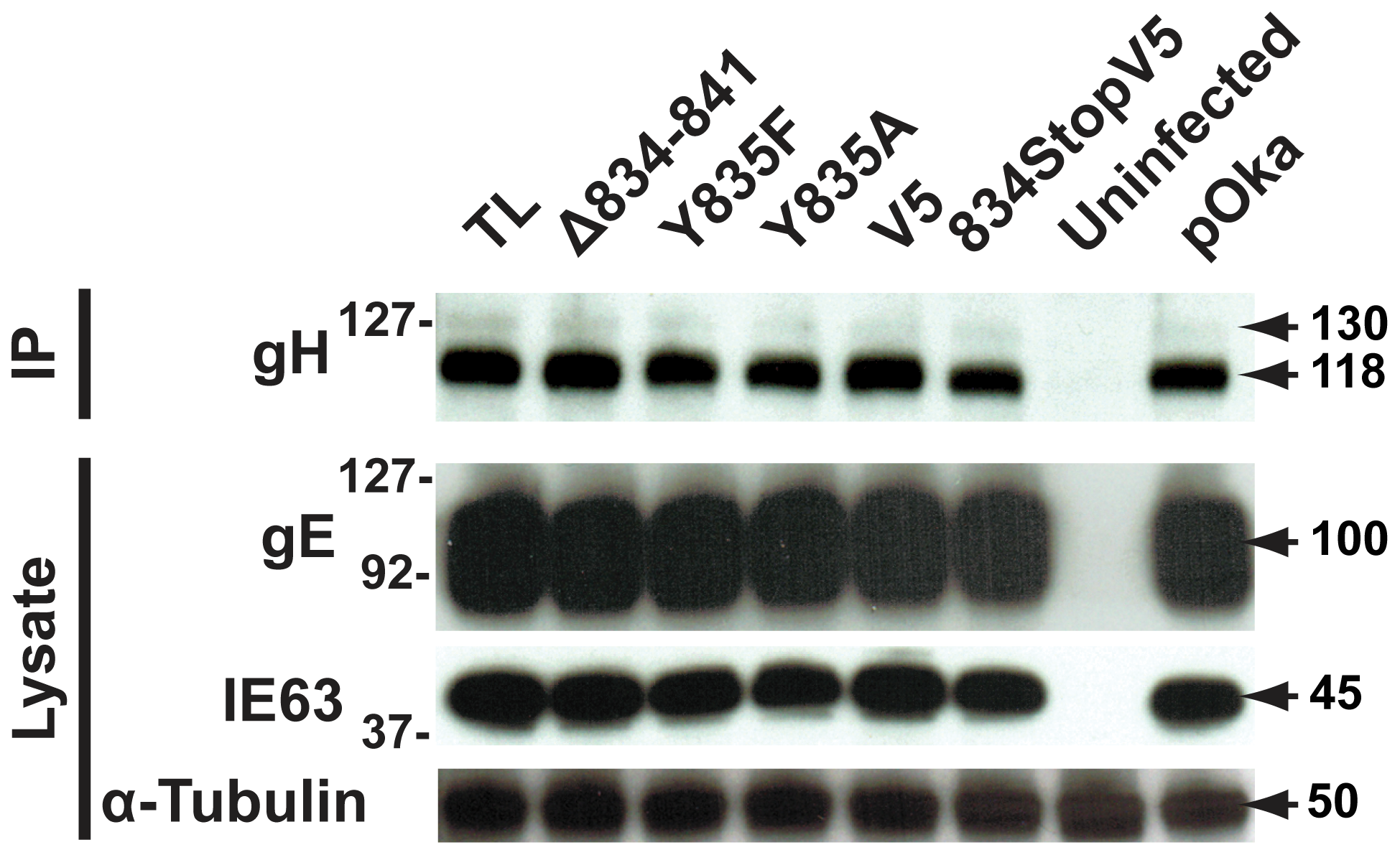 Amino acids 834-841 of the gHcyt are dispensable for gH maturation during infection of melanoma cells.