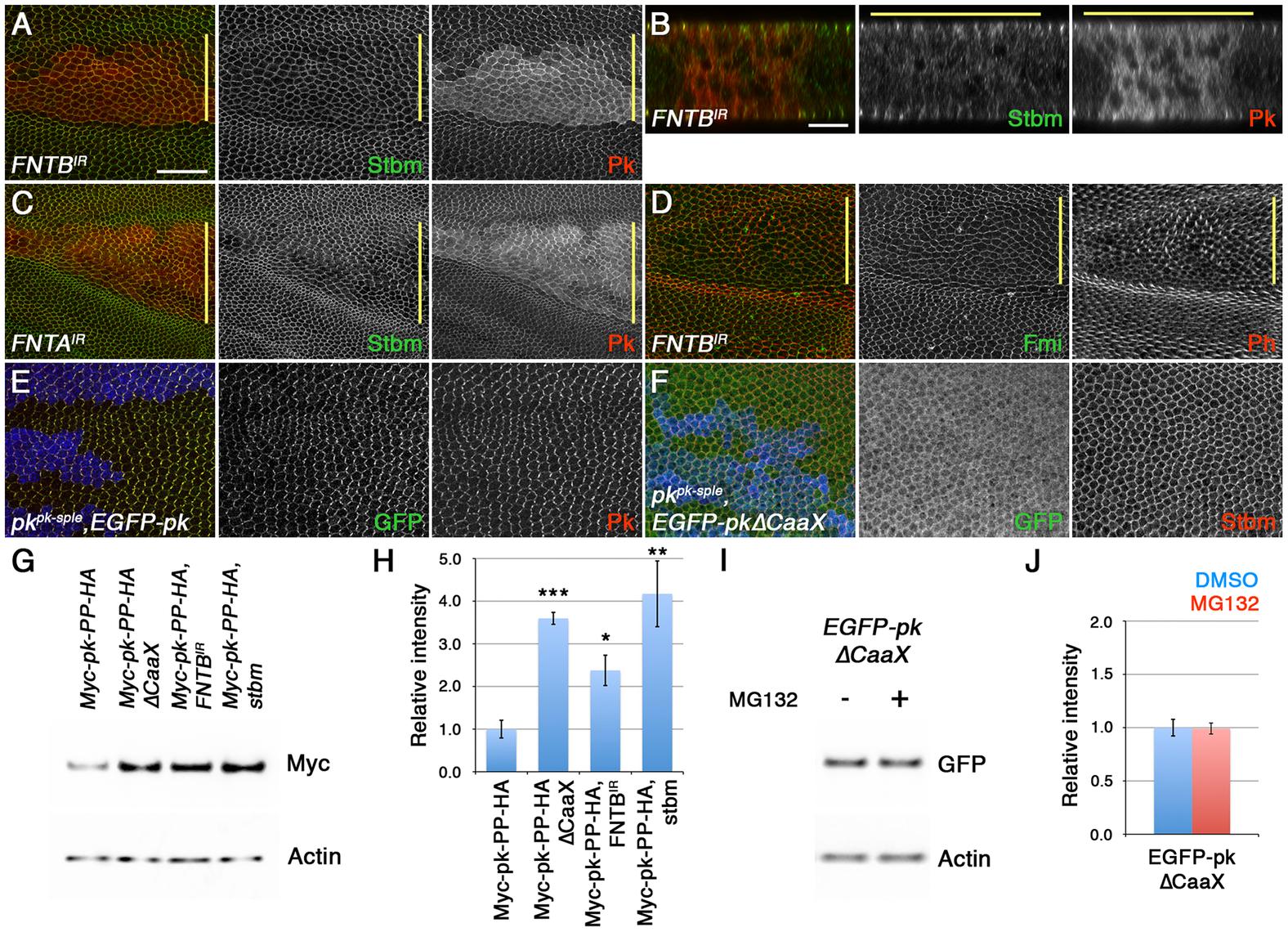 Loss of farnesylation causes an increase in cytoplasmic Pk.