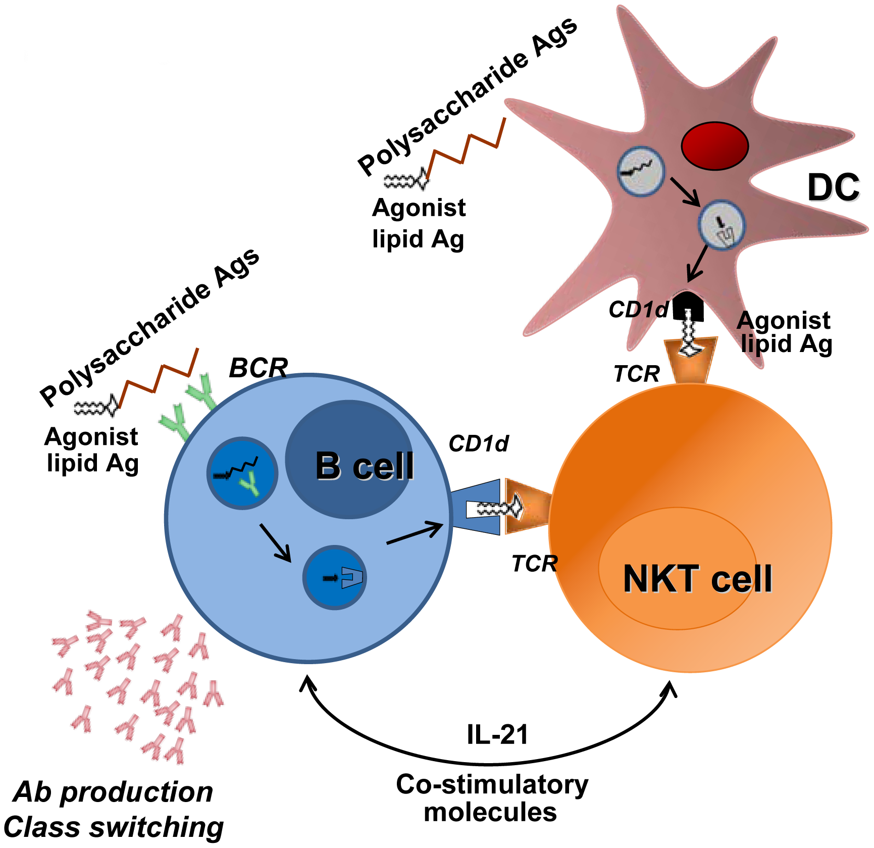 Promotion of B cell responses by cognate NKT cells help.