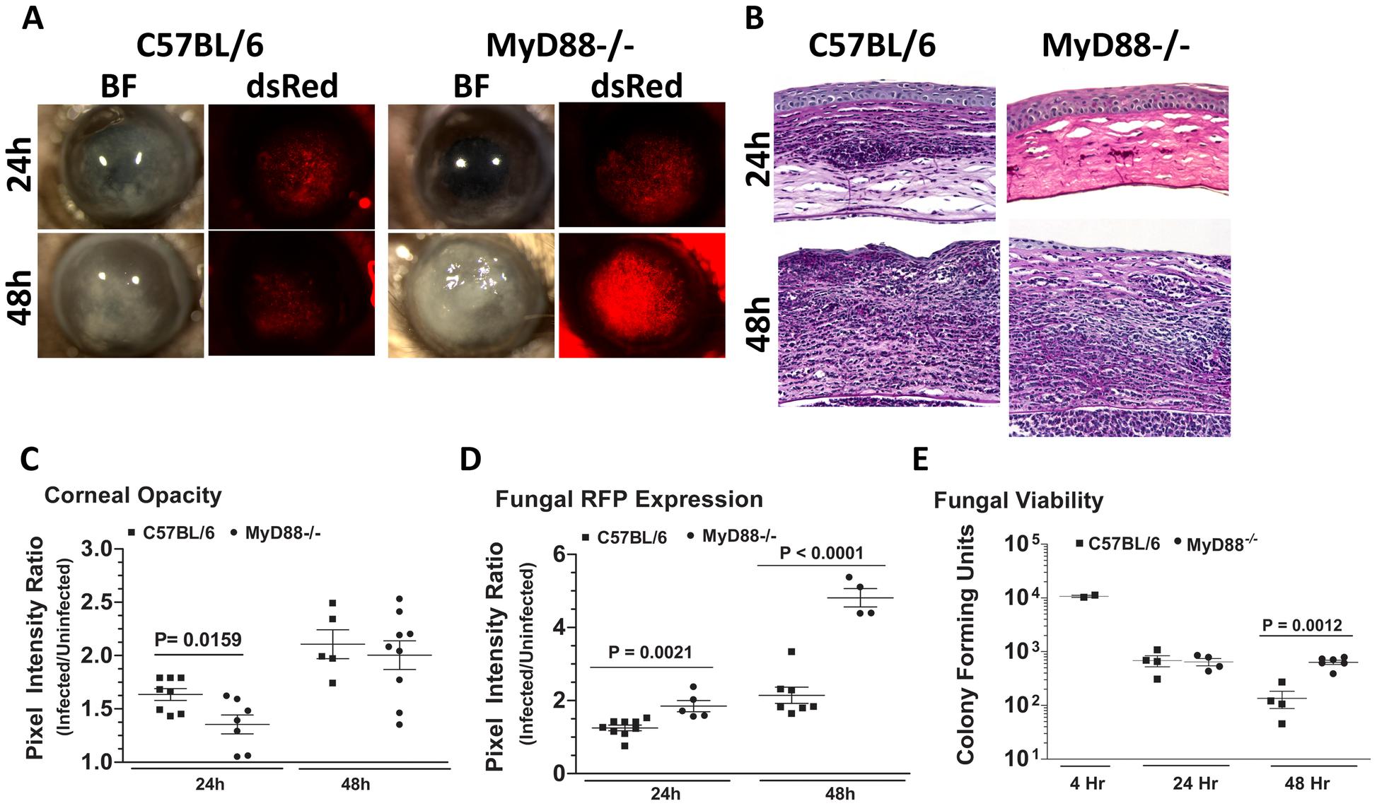 The role of MyD88 in <i>A. fumigatus</i> keratitis.
