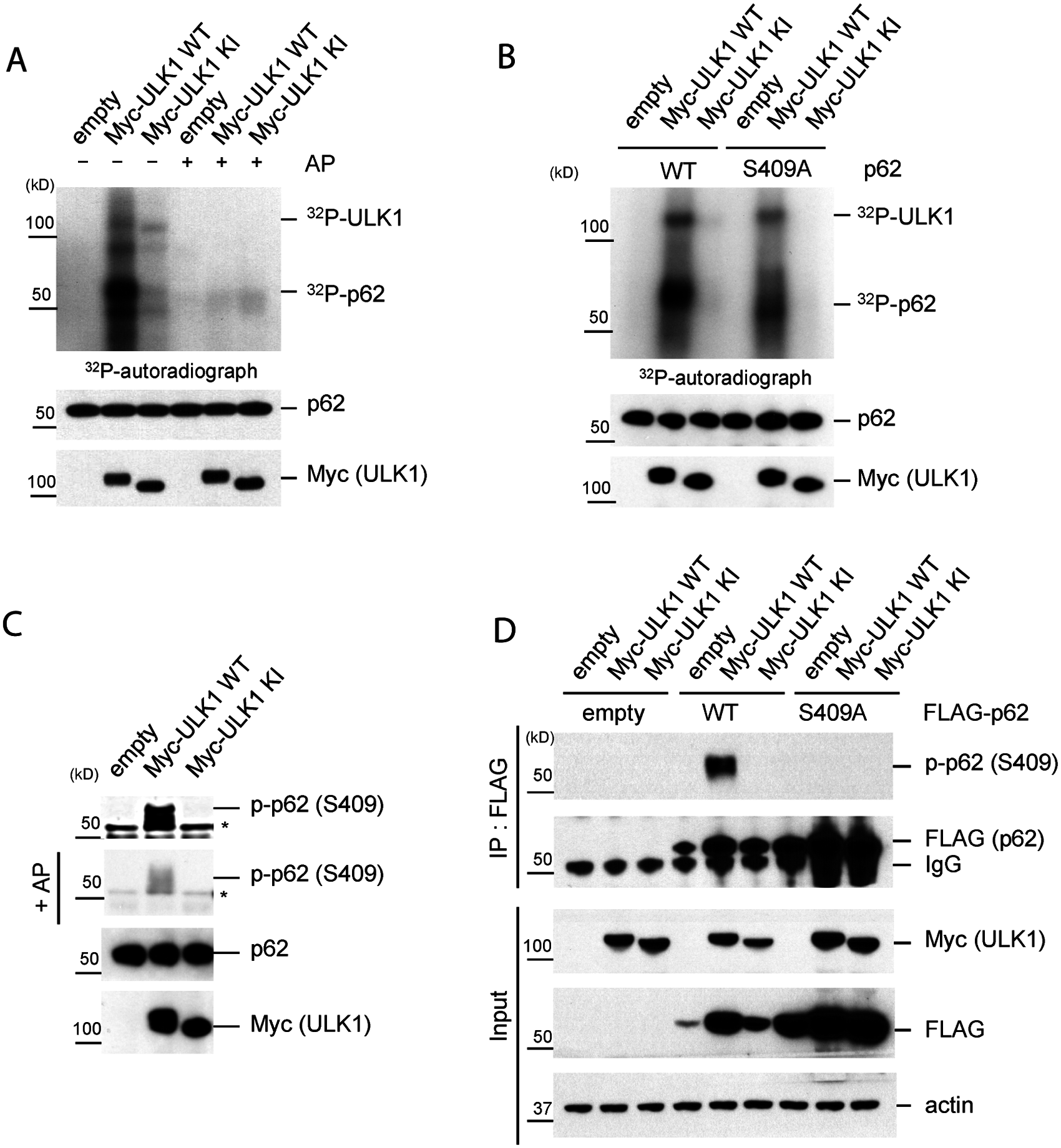 ULK1 phosphorylates p62 at S409.