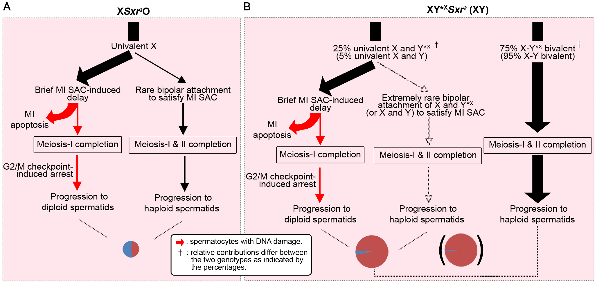 A combined MI SAC and G2/MII checkpoint model to explain the consequences of the male-specific apoptotic response to spermatocytes with univalent chromosomes at MI.