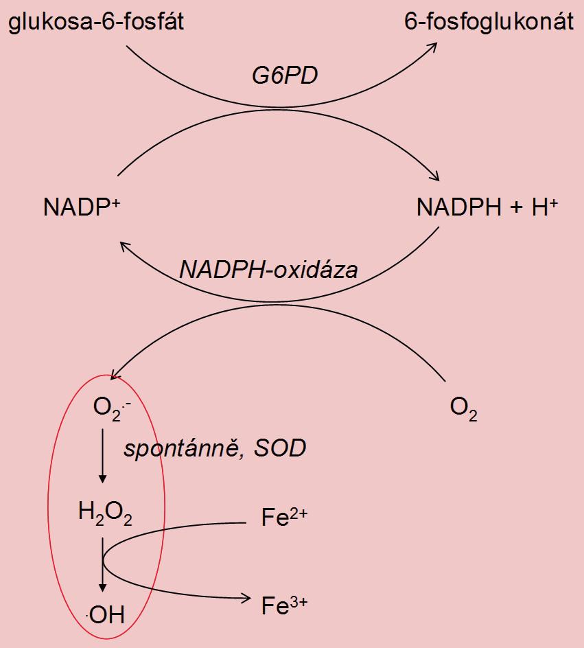 Vznik ROS v cytoplazmatických inkluzích spermií s abnormální morfologií (G6PD – glukóza-6-fosfátdehydrogenáza, SOD – superoxiddismutáza).