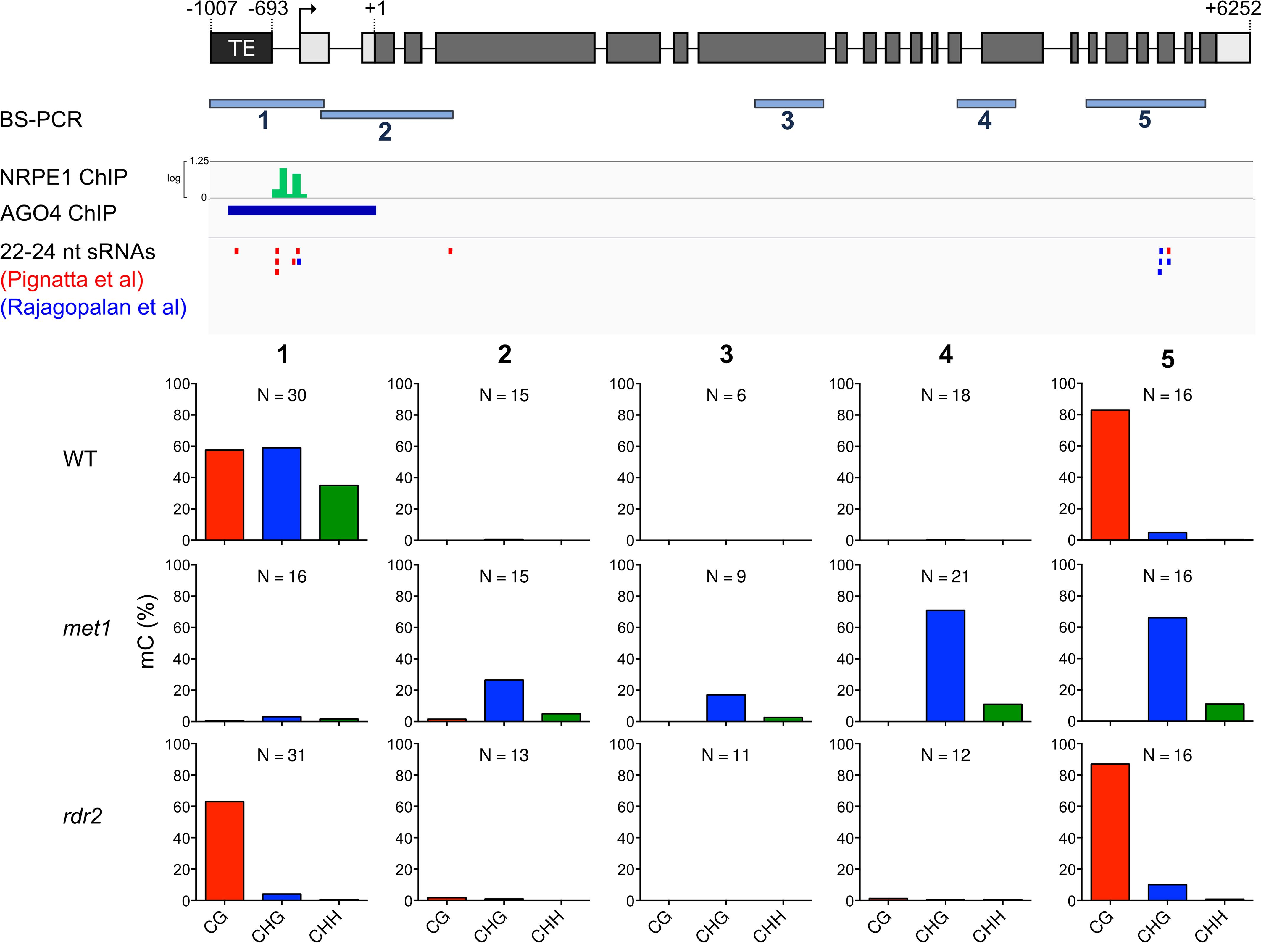 <i>ROS1</i> is an RdDM target.
