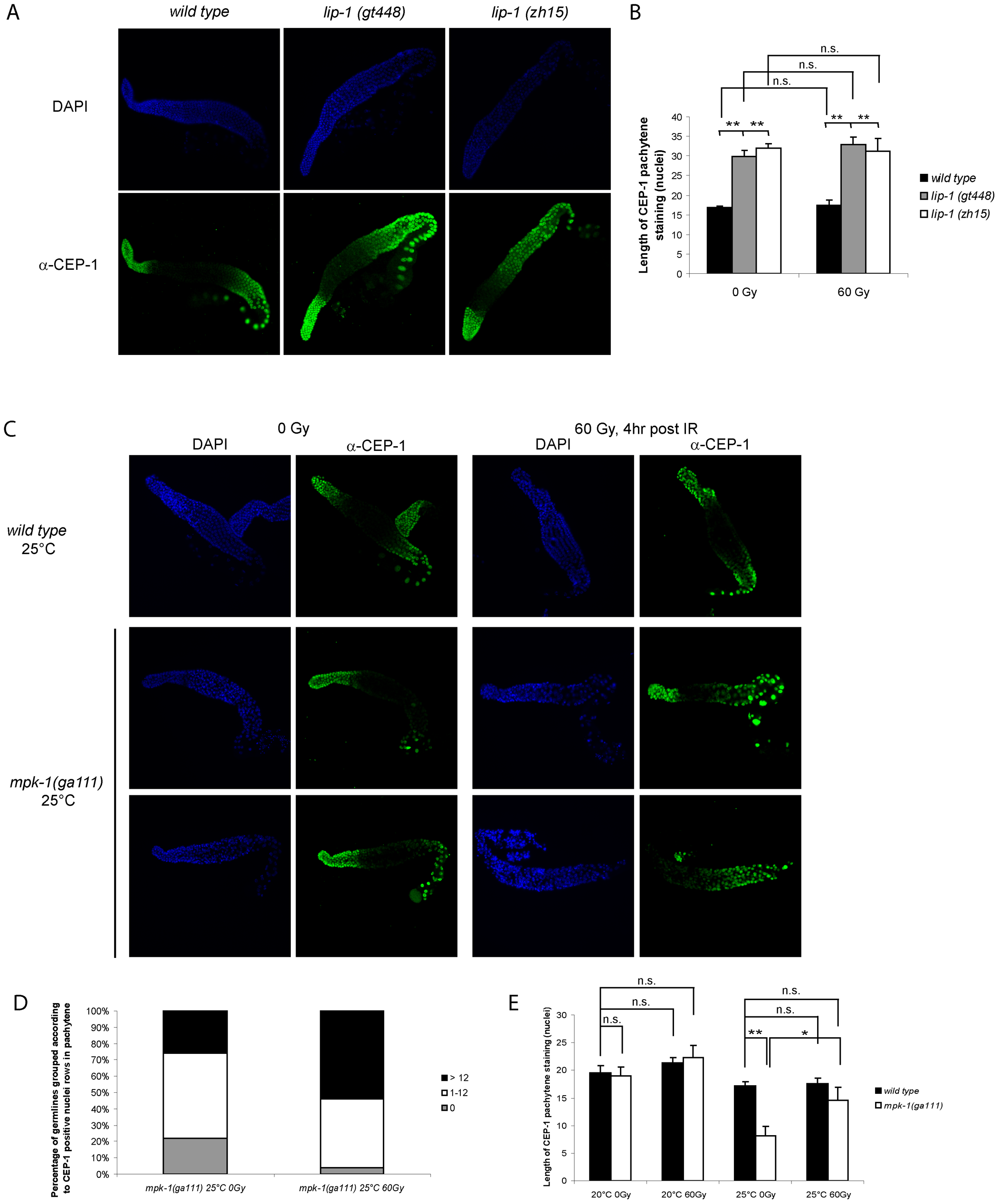 CEP-1 germline expression is affected by MPK-1 signaling.