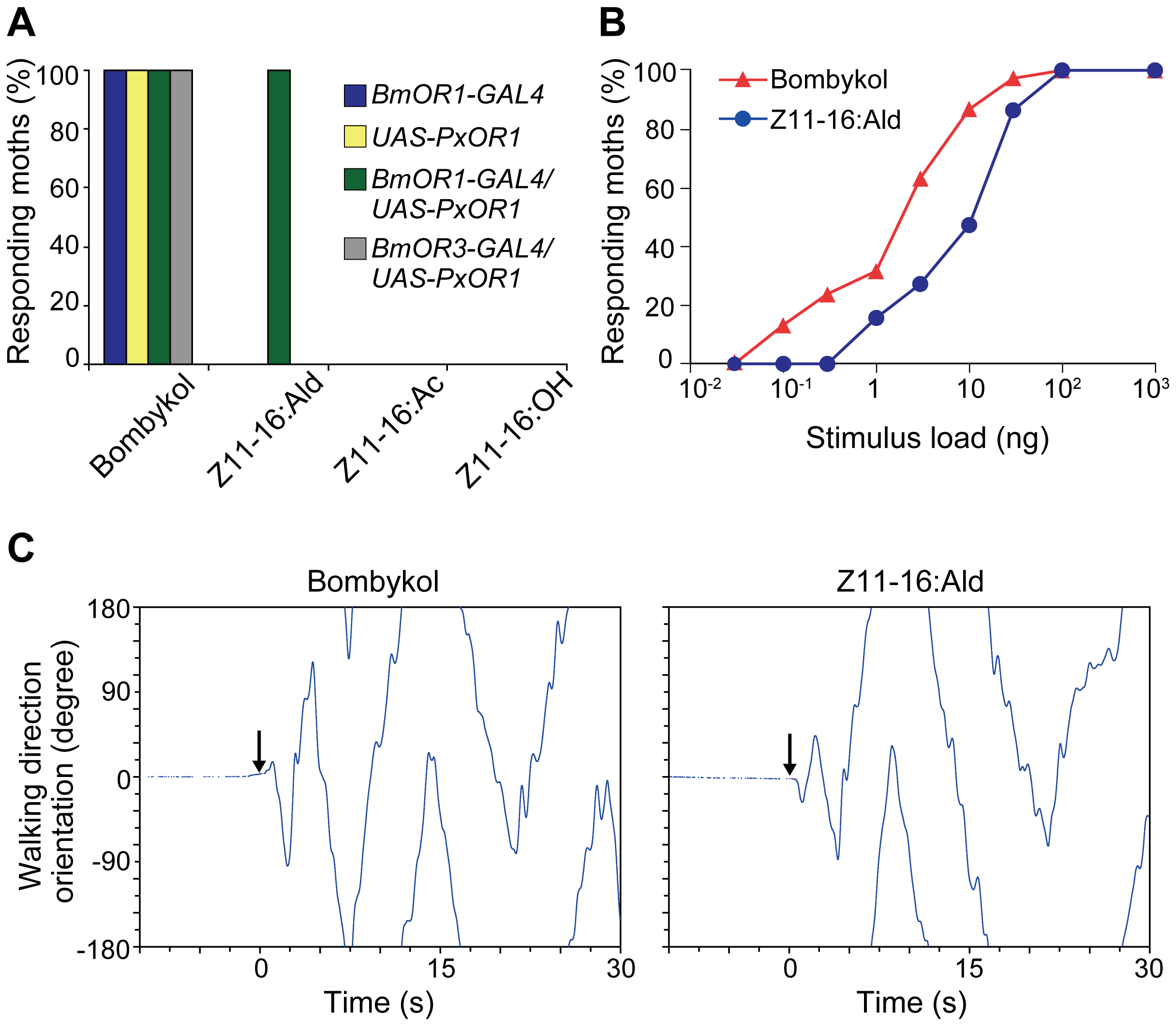 PxOR1-expressing males exhibit pheromone-orientation behavior in response to Z11-16:Ald stimulation.