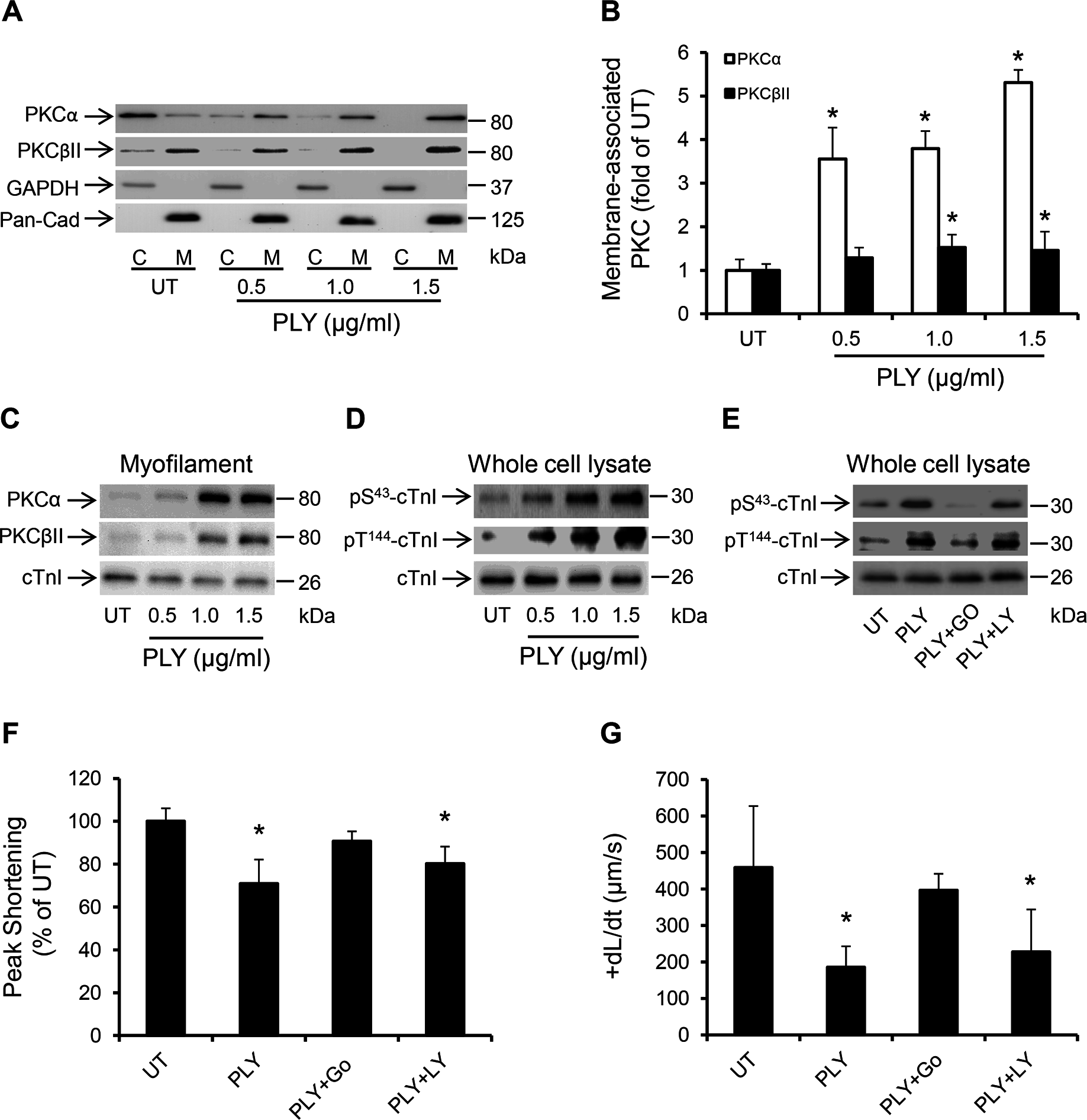 PLY activates the PKCα-cTnI axis in HL-1 cardiomyocytes to depress contractility.