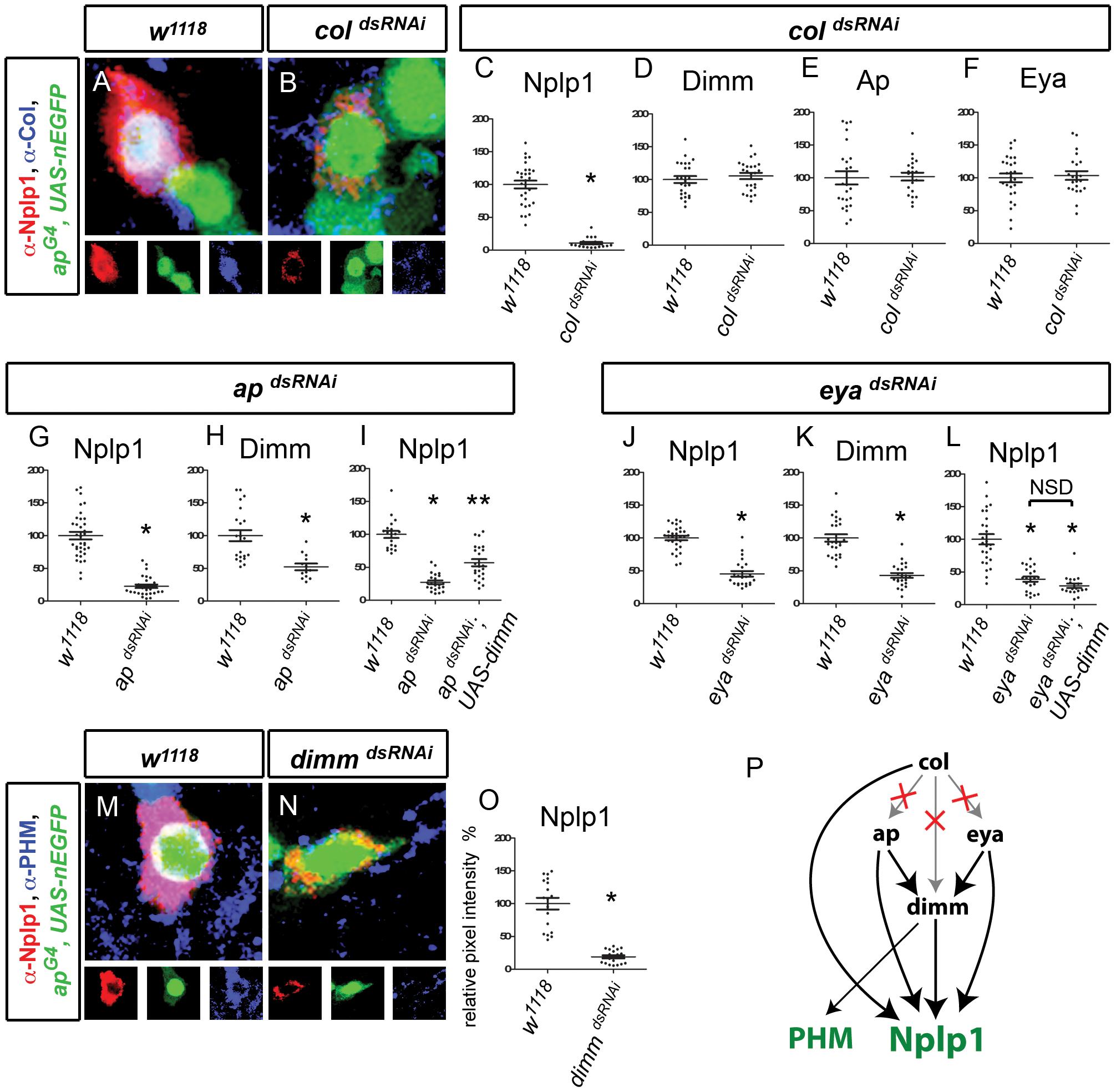 Transcriptional regulation of Nplp1 in adult Tv1 neurons.