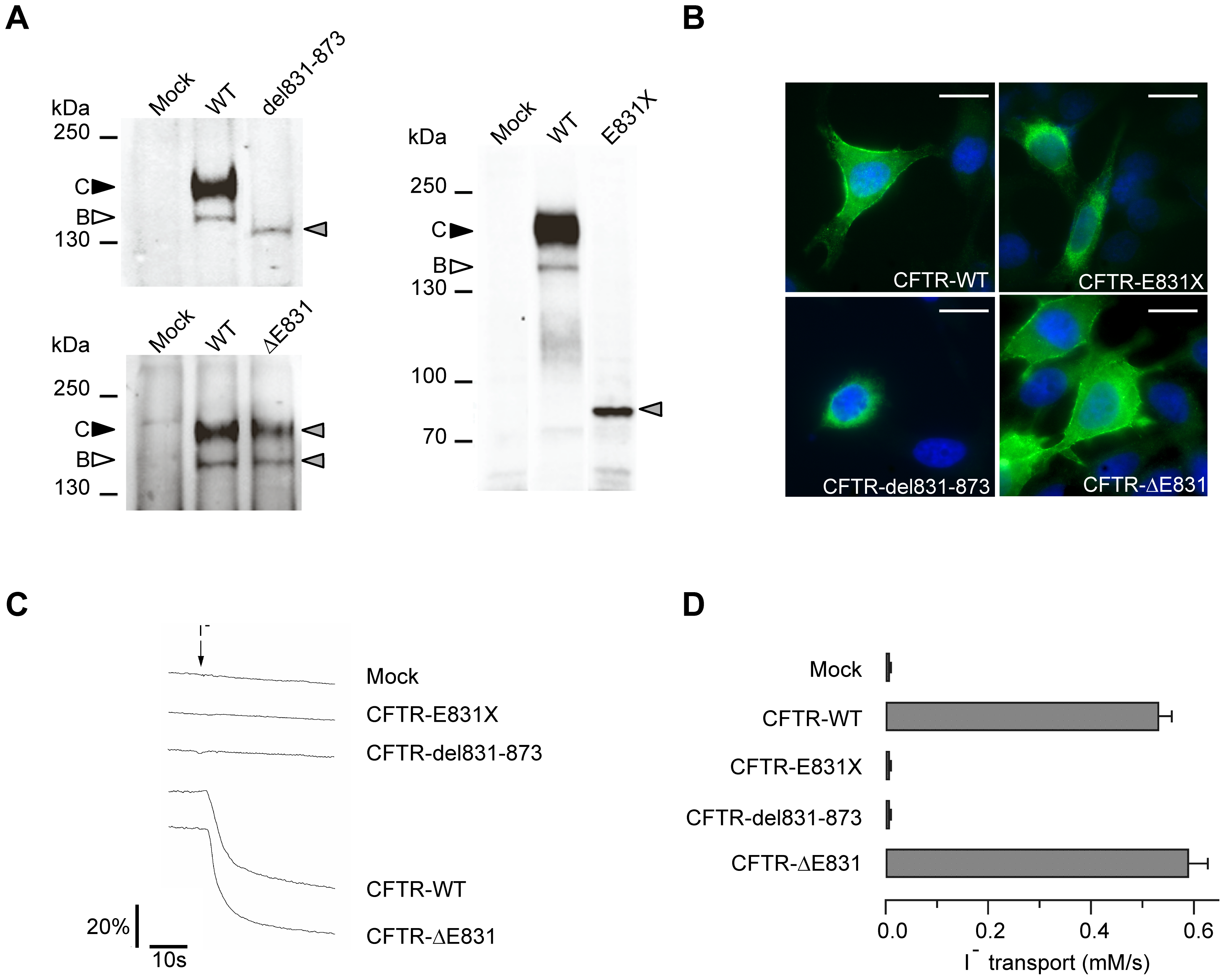 Characterization of the three CFTR mutant proteins.