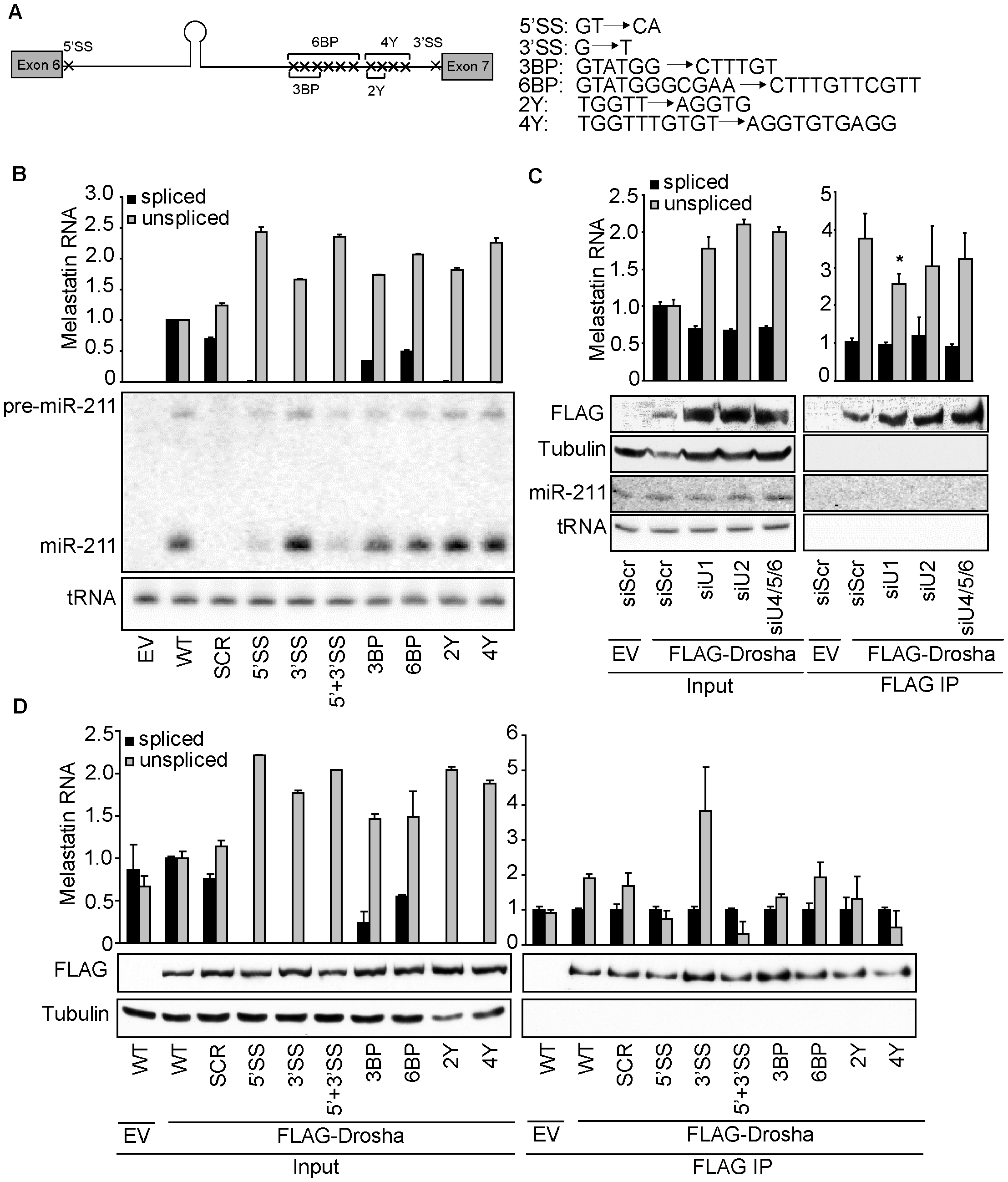 5′SS recognition promotes microprocessing of and Drosha recruitment to intronic miR-211.