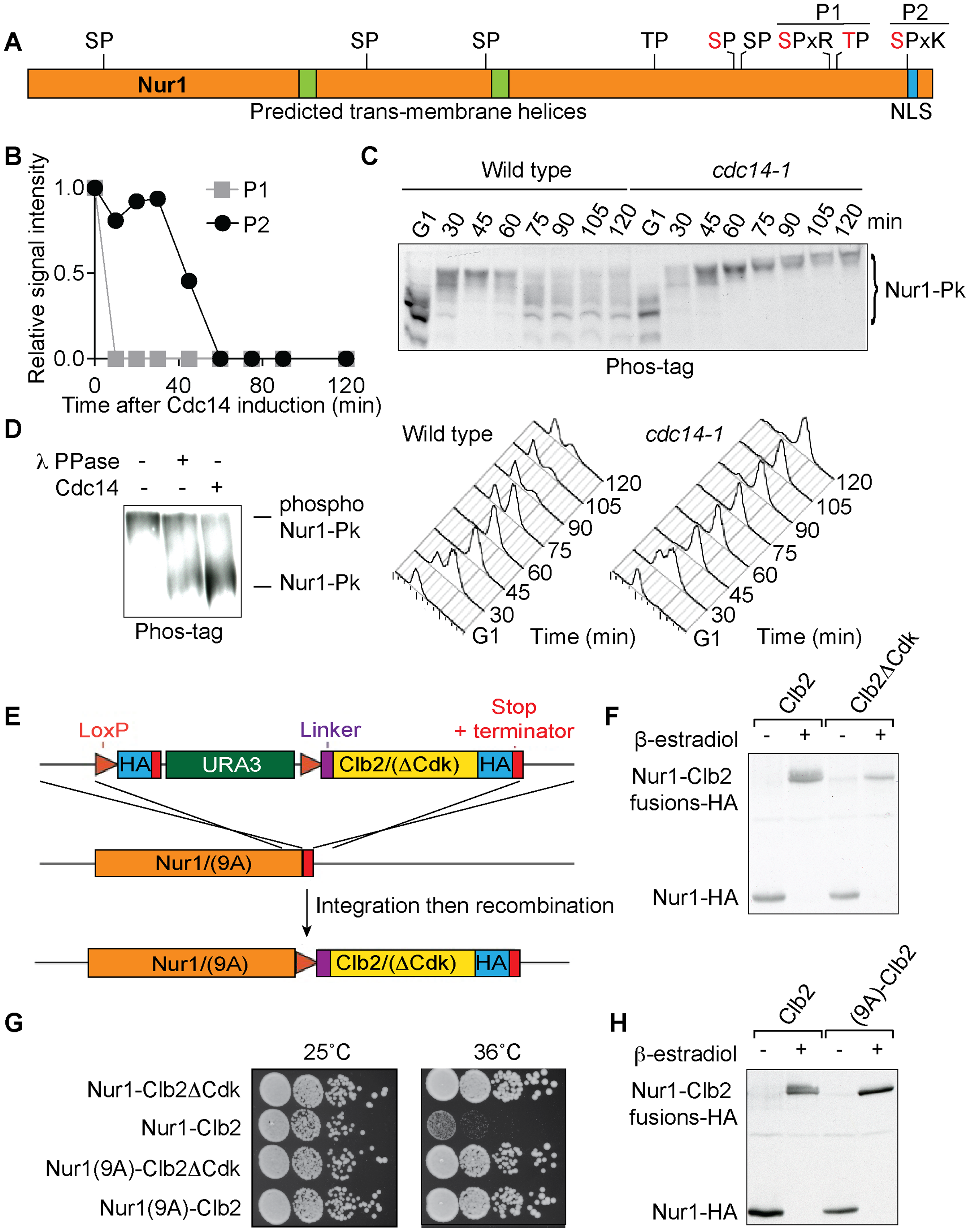 Nur1 dephosphorylation by Cdc14 in anaphase. A