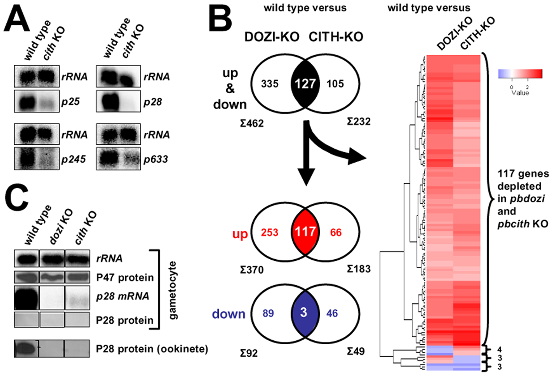 CITH and DOZI gene deletion mutant gametocytes suffer substantial mRNA loss.