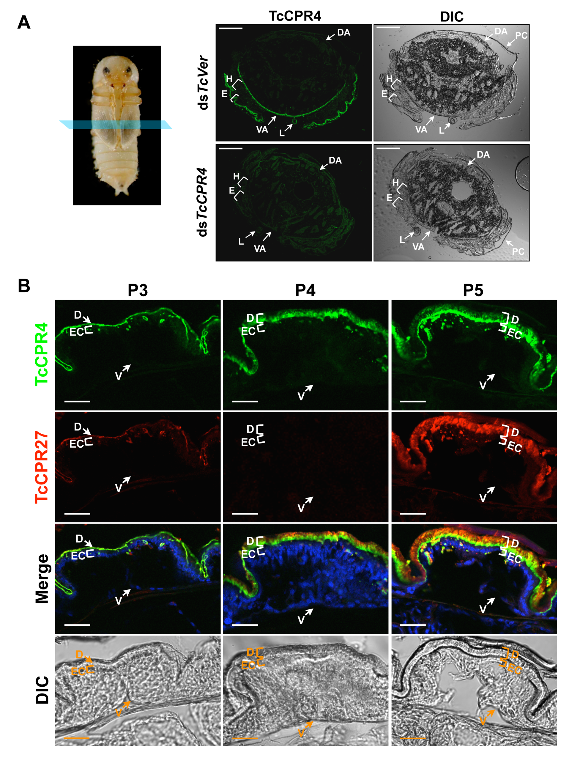 Localization of TcCPR4 protein in adult cuticles of <i>T</i>. <i>castaneum</i>.