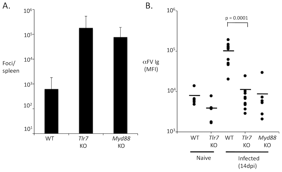 TLR7 is required for an antibody response to FV.