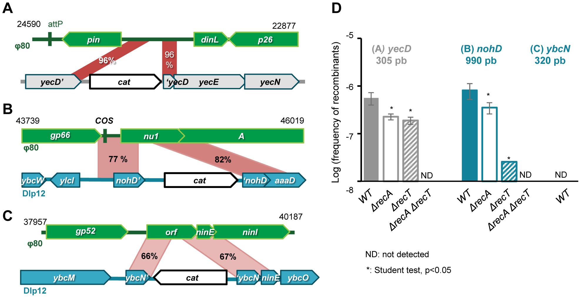 Formation of Φ80 hybrids also depend on phage recombinase.
