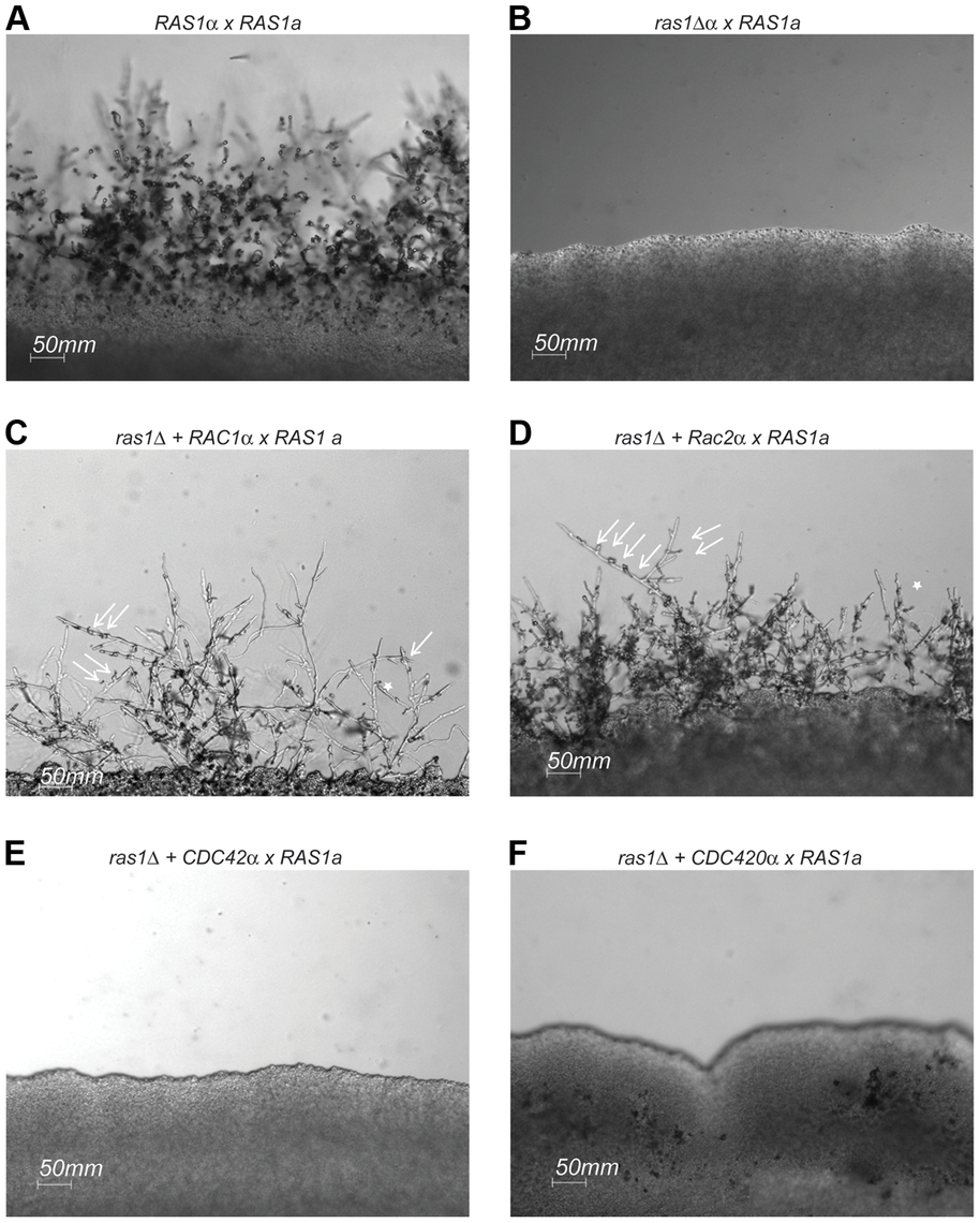 Mating in <i>ras1Δ+RhoGTPase</i> strains.