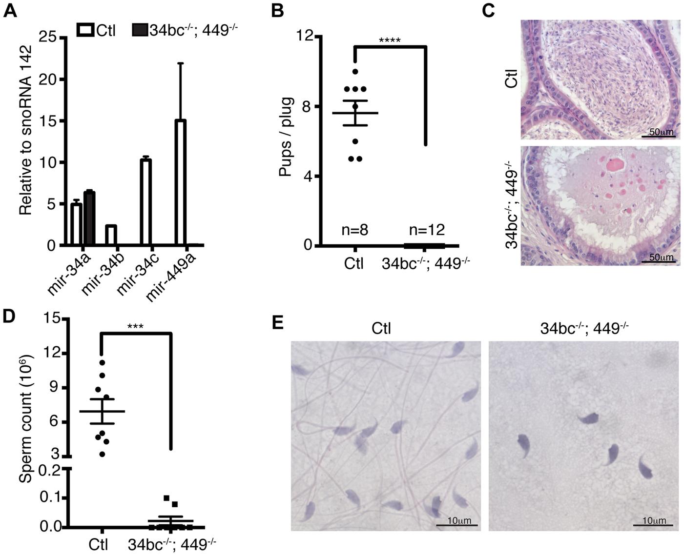 Oligoasthenoteratozoospermia and infertility in miR-34bc<sup>−/−</sup>;449<sup>−/−</sup> mice.