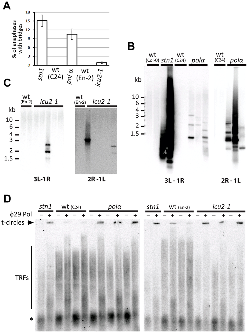 Impaired function of DNA polymerase α results in telomere deprotection.