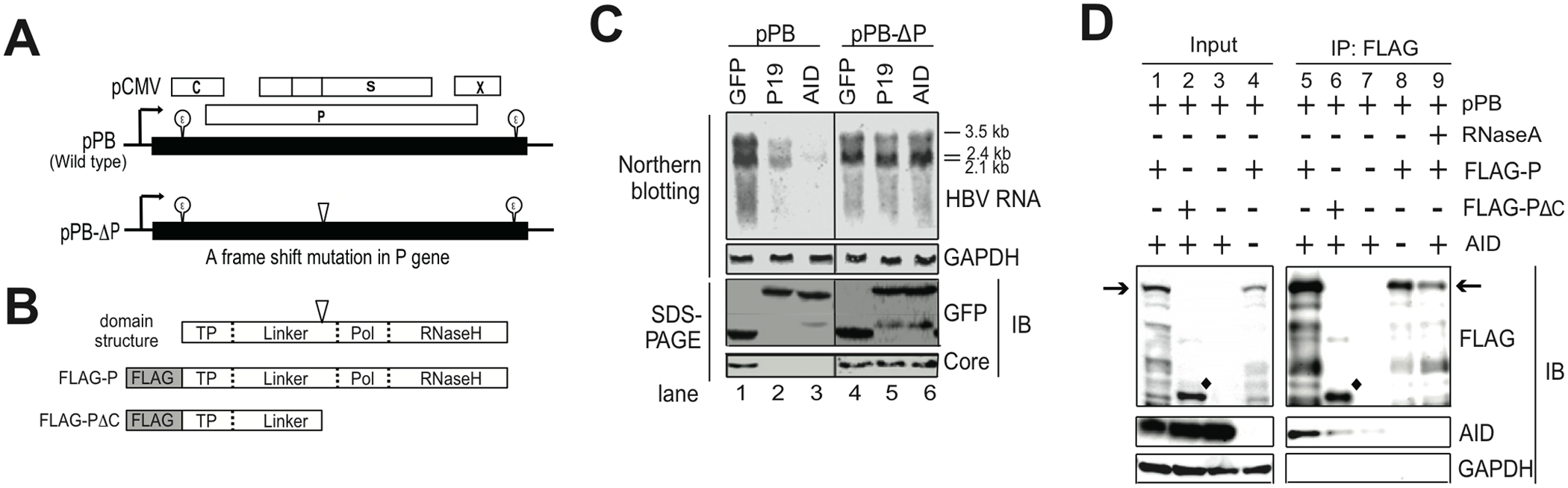 Intact P protein is required for AID-mediated downregulation of HBV transcripts and AID associates with HBV P protein.
