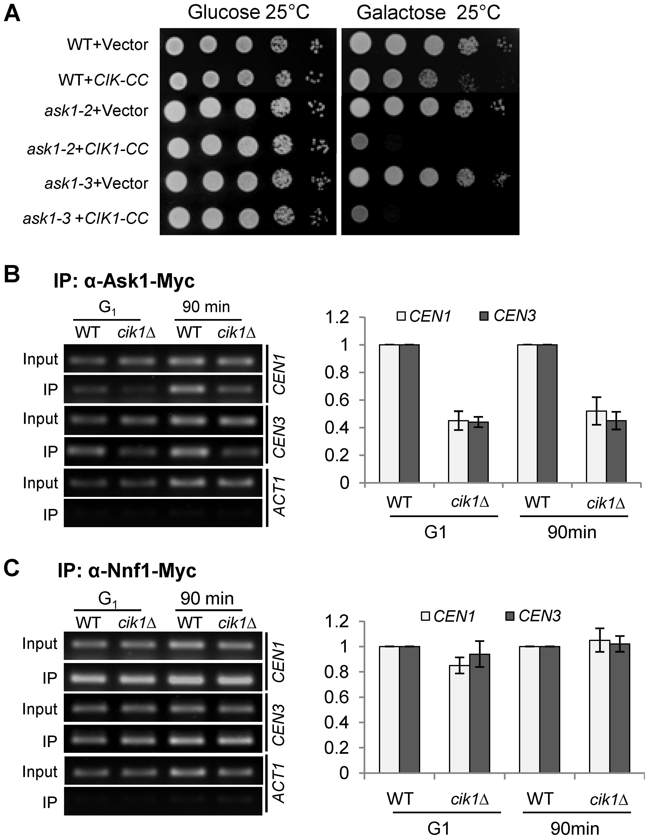 Dysfunctional Cik1/Kar3 leads to decreased DASH–kinetochore interaction.