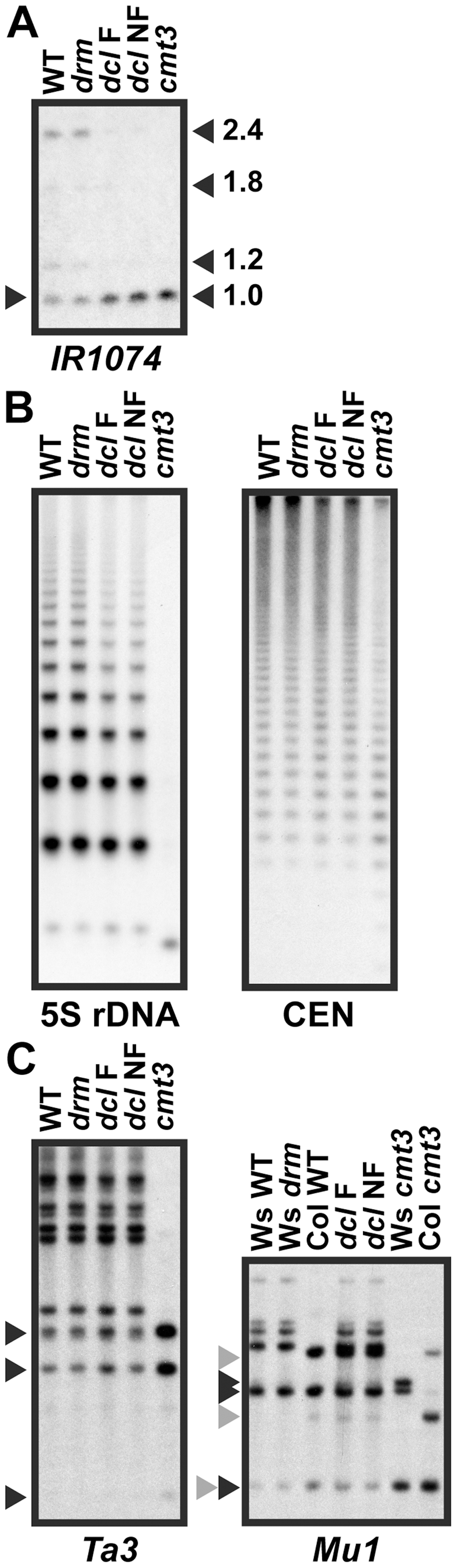 5meC levels are reduced at a subset of CMT3 target loci in <i>pai1 dcl2 dcl3 dcl4</i>.