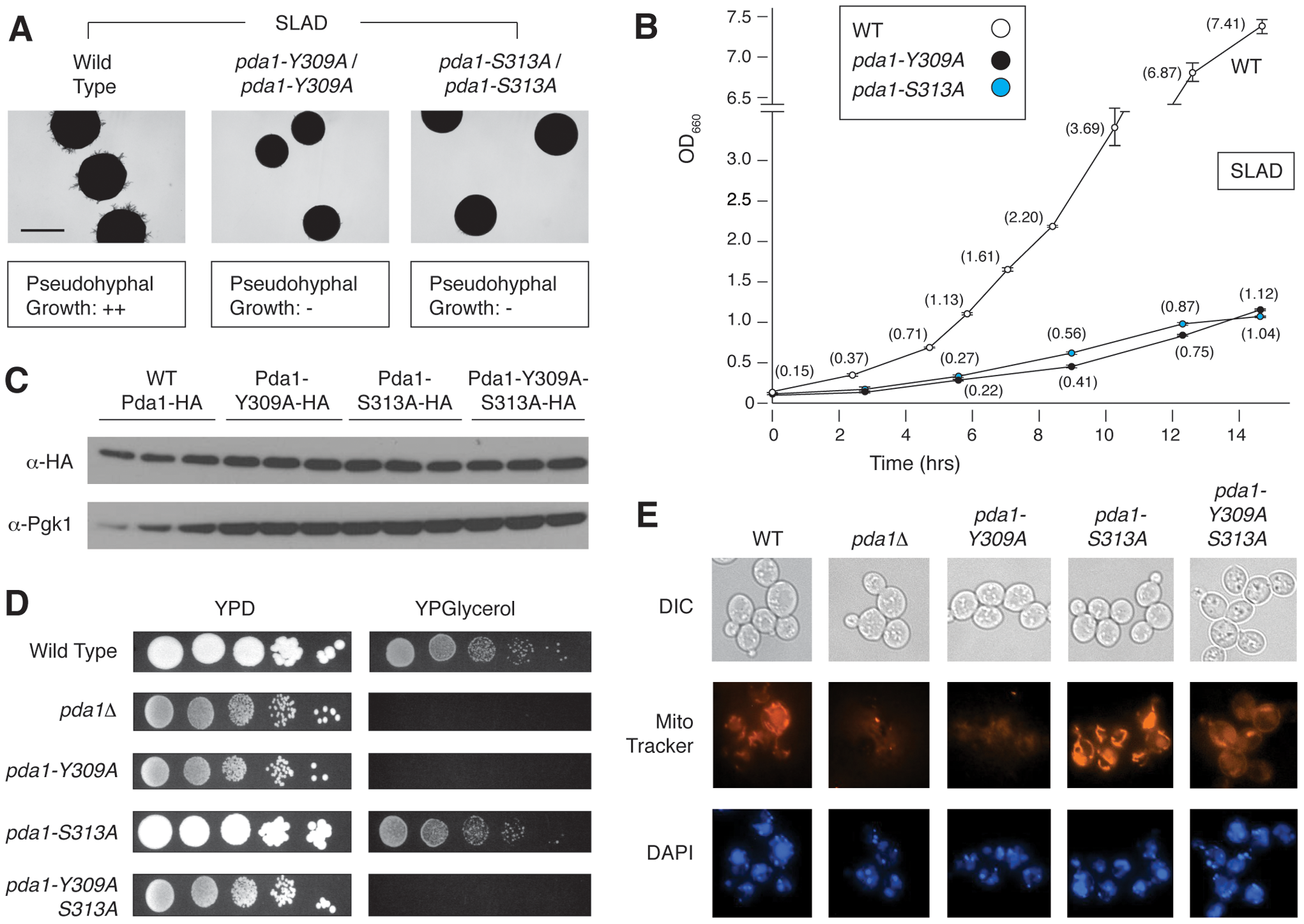 Phenotypic analysis of integrated homozygous diploid <i>pda1</i> site-directed mutants.