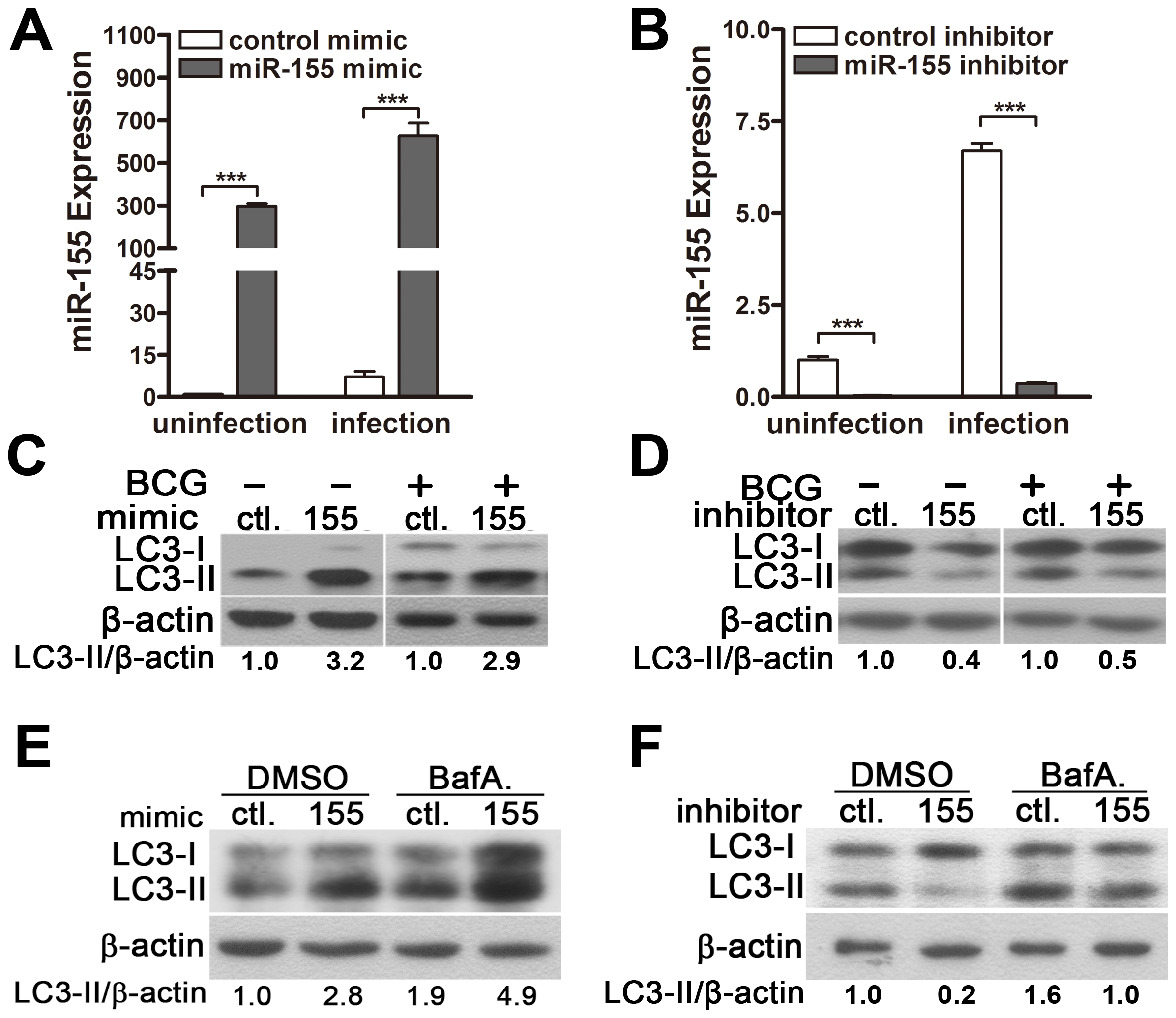 miR-155 induces autophagy in macrophages.