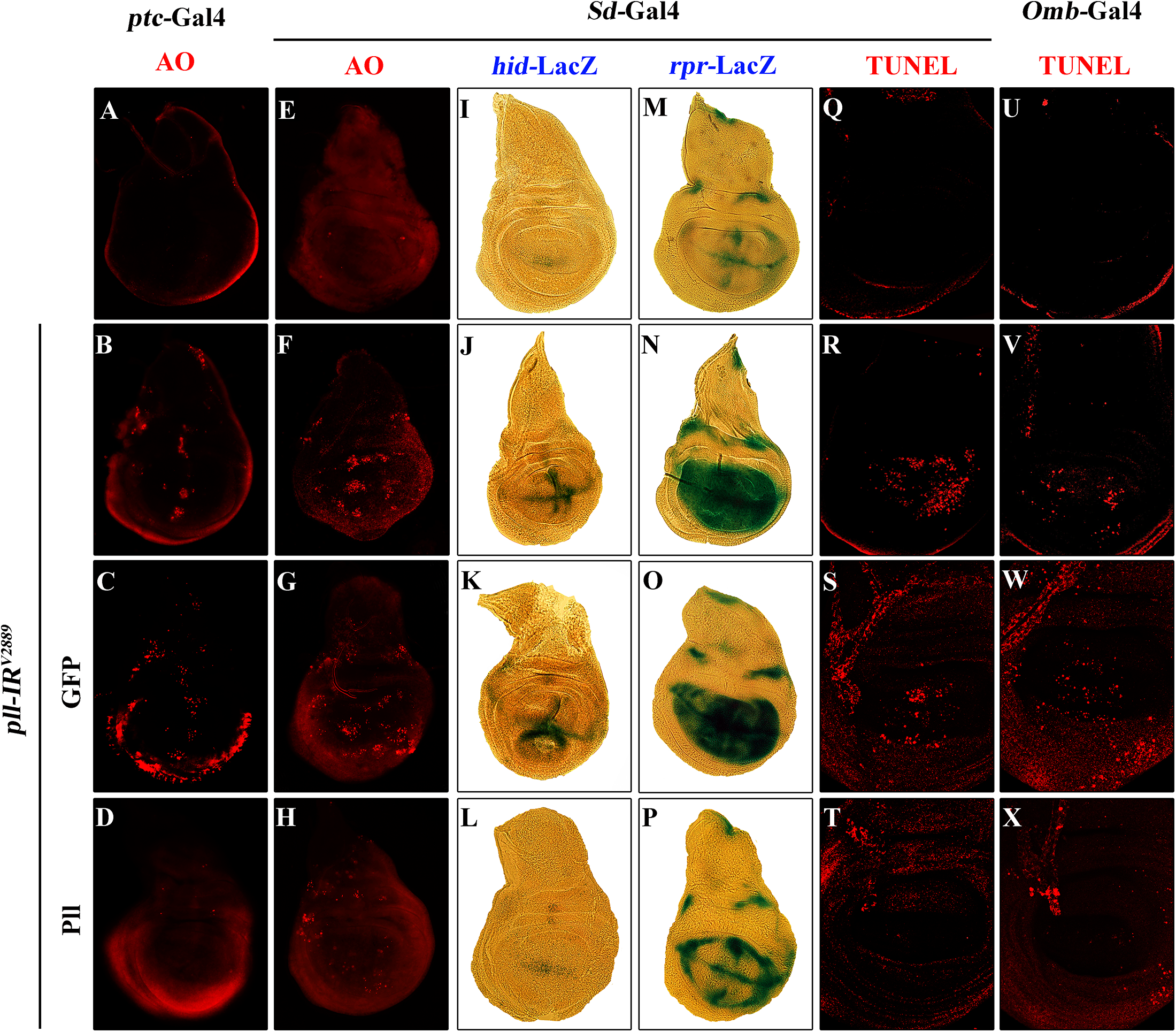 Loss of <i>pll</i> elicits apoptotic cell death.