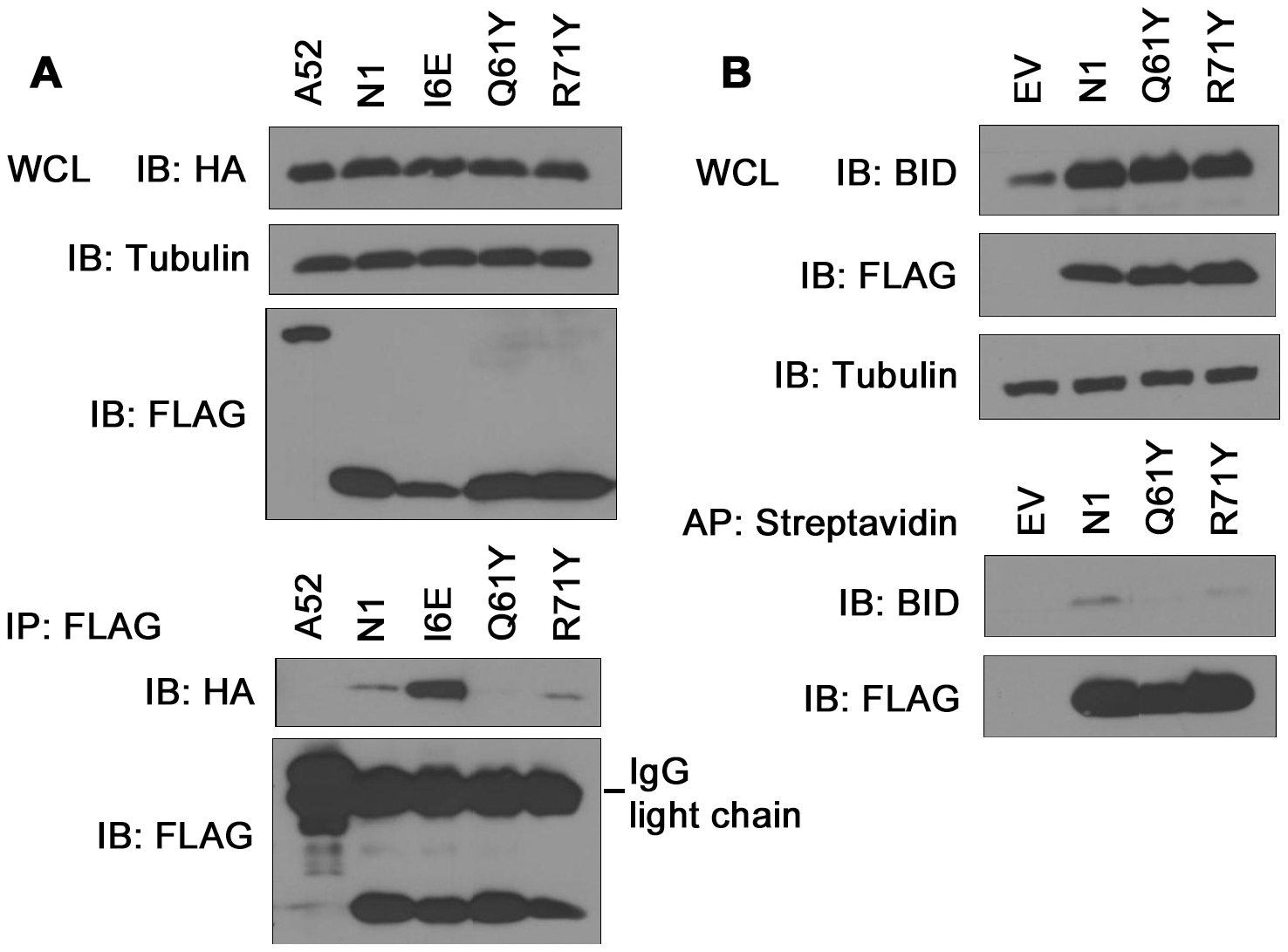 Immunoprecipitation of N1 mutants with cellular pro-apoptotic Bcl-2 proteins.