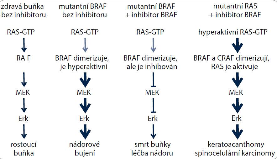 Schematické znázornění vedlejších účinků inhibitoru PLX4032 v buňkách s mutacemi v genech RAS a BRAF. Podle [30,39], upraveno.