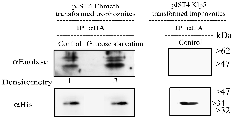 <i>In vivo</i> interaction of Ehmeth with enolase.