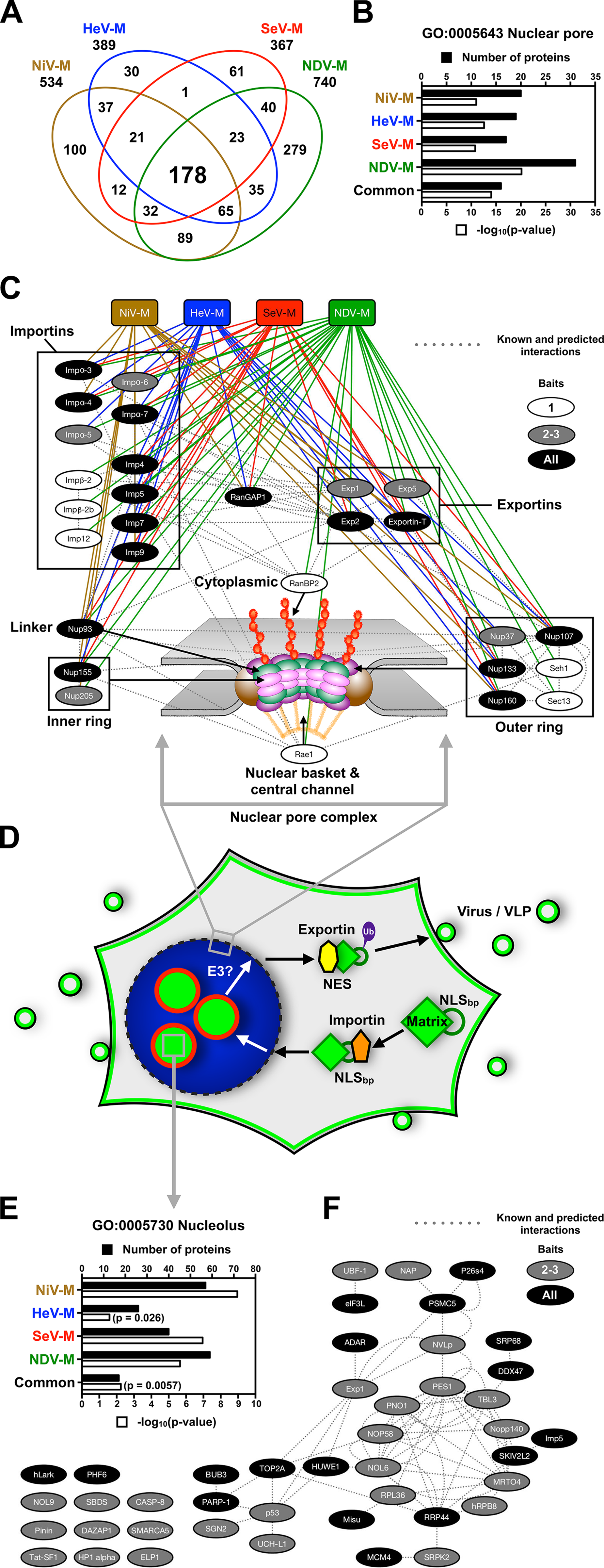 Identification of nuclear pore complex proteins, nuclear transport receptors and nucleolar proteins that interact with <i>Paramyxovirinae</i> matrix proteins.