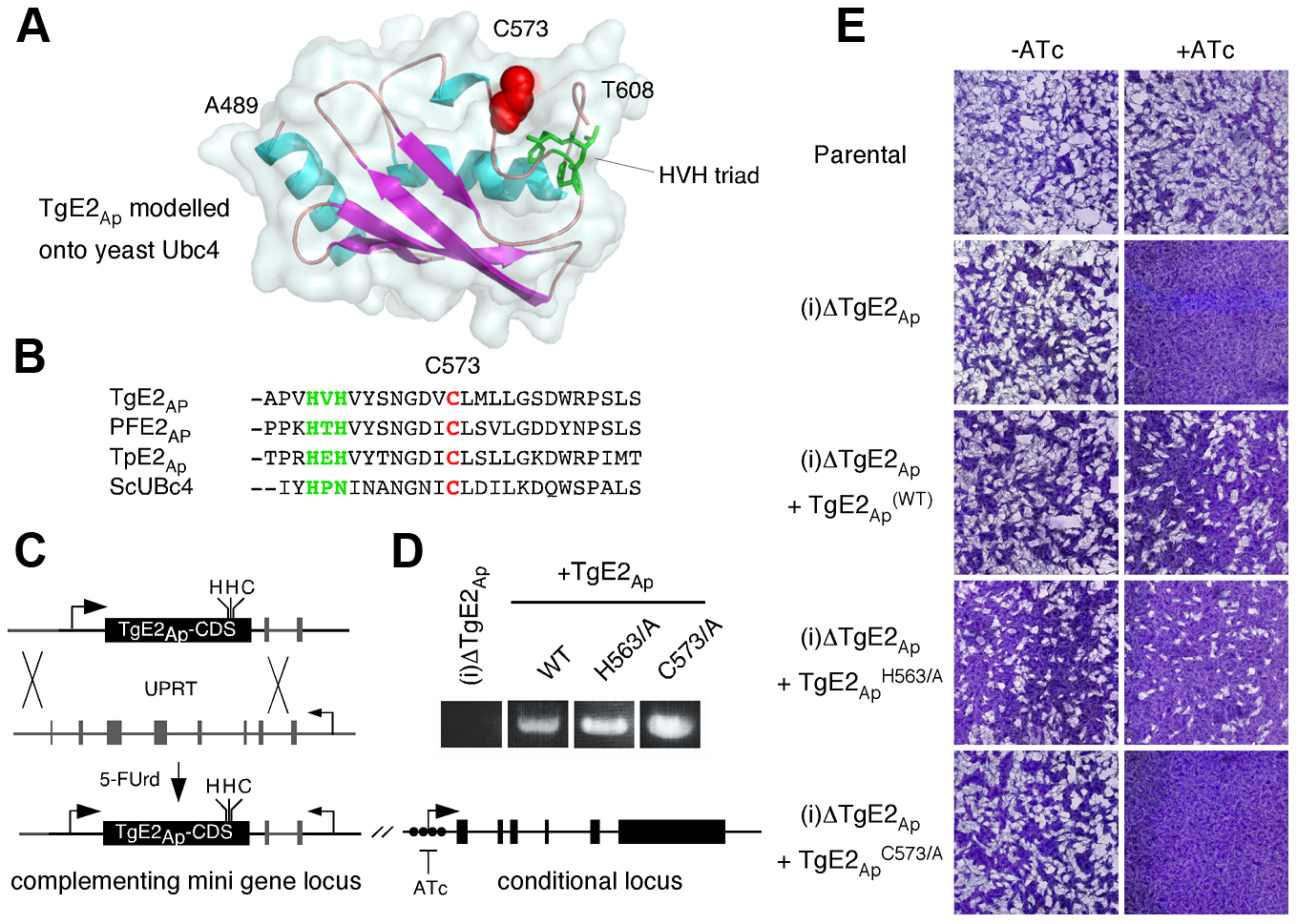 Active site residues are required for functional complementation of the TgE2<sub>Ap</sub> null mutant.