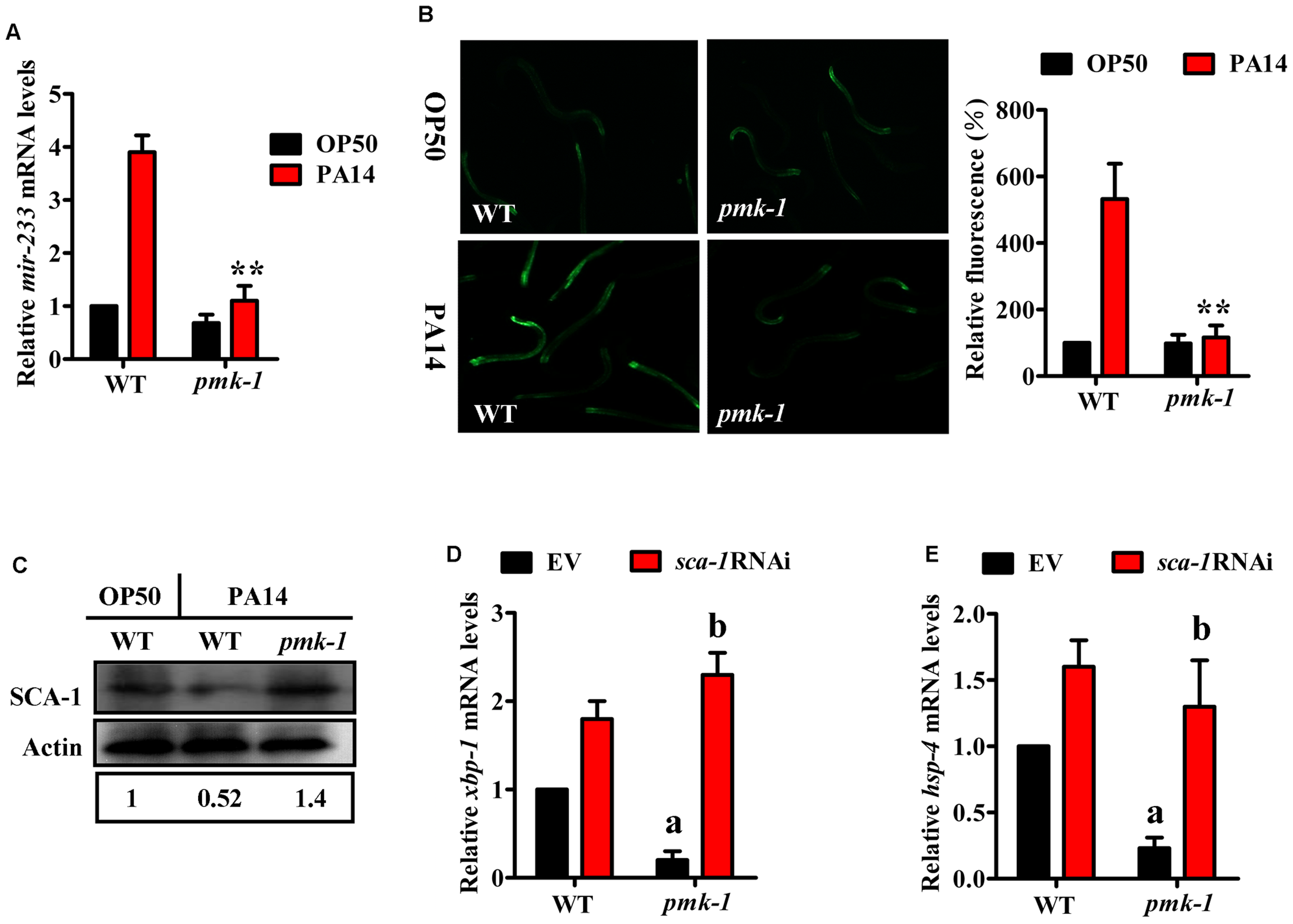 The <i>mir-233</i>/SCA-1 signaling functions as a downstream effector of p38 MAPK in the activation of the UPR.