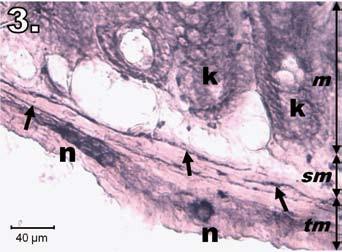 Histologický obraz jejuna v skupine R24. n – regenerujúce sa NADPH-d pozitívne neuróny, šípky – nervové vlákna, k – negatívne Lieberkühnove krypty, m – mukóza, sm – submukóza, tm – tunica muscularis; scale bar = 40 μm Fig. 3. Histological picture of jejunum in group R24. n – regeneration in NADPH-d positive neurons, arrows – nerve fibres, k – negativity in Lieberkühn's crypts, m – mucosa, sm – submucosal layer, tm – tunica muscularis; scale bar = 40 μm