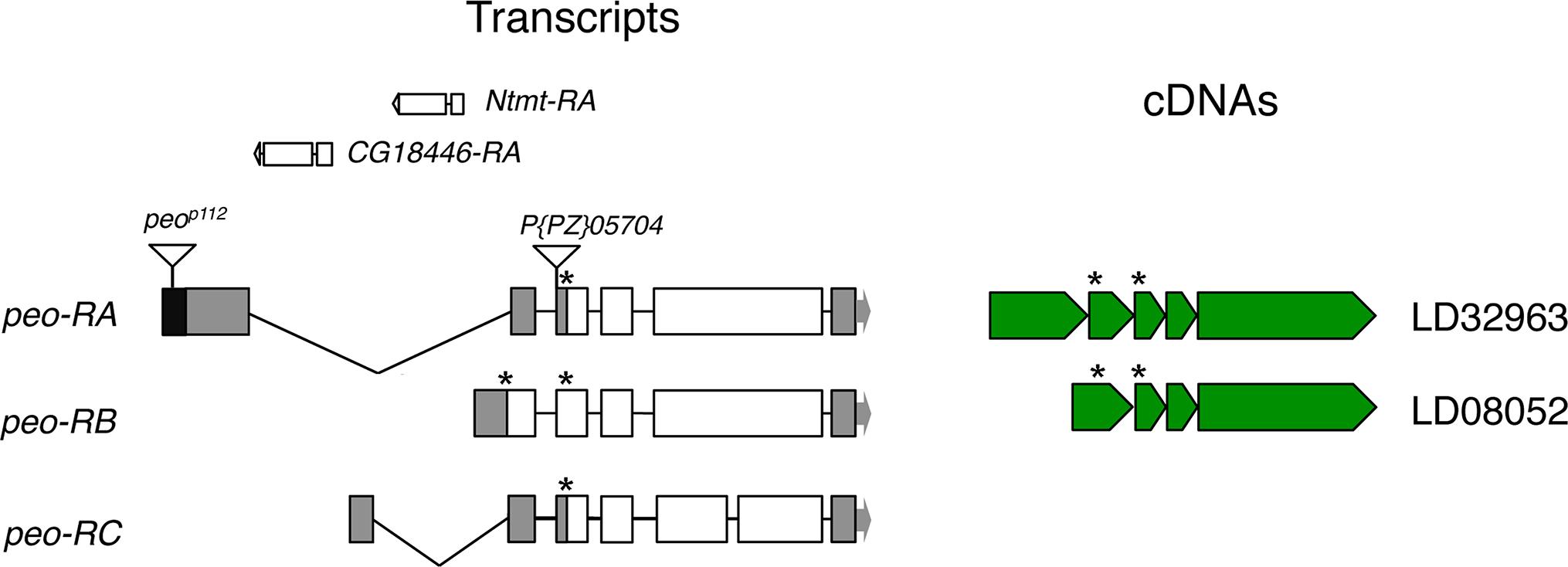 Structure of the <i>peo</i> (<i>CG10536)</i> transcripts and available cDNAs.
