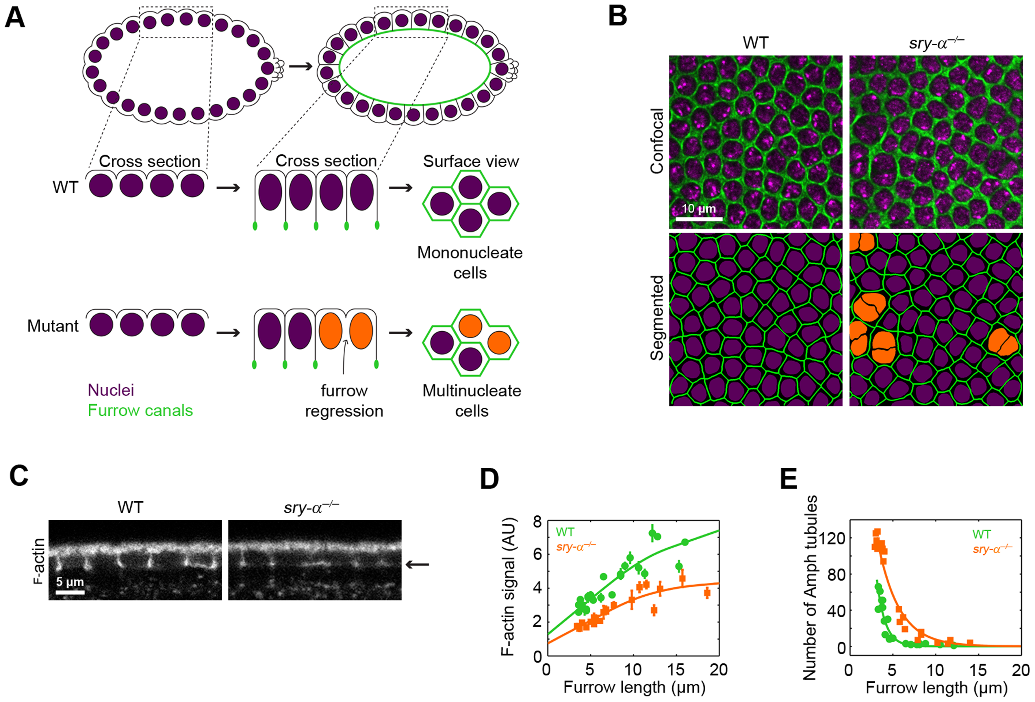 Sry-α regulates cortical F-actin levels.