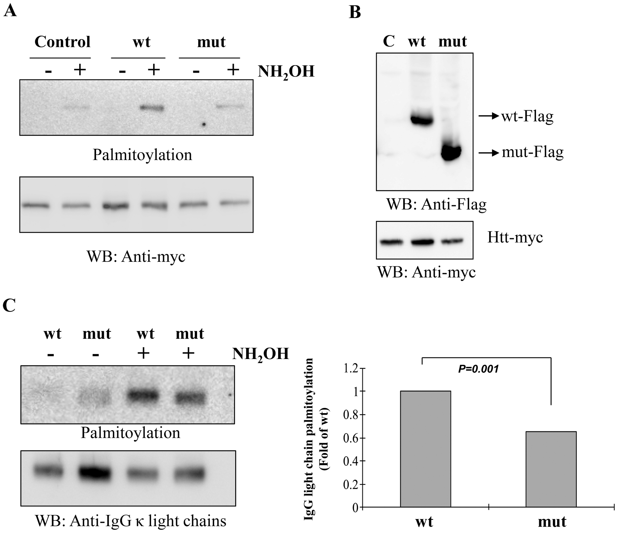 Palmitoyl-acyl transferase (PAT) activity and IgG light chain palmitoylation in the wild-type and mutant mice.