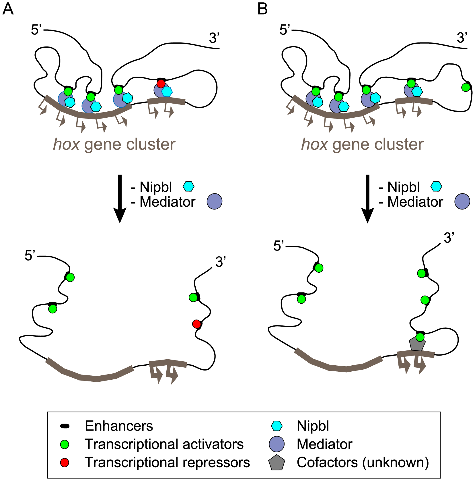Model of <i>hox</i> gene regulation by Nipbls and mediator.