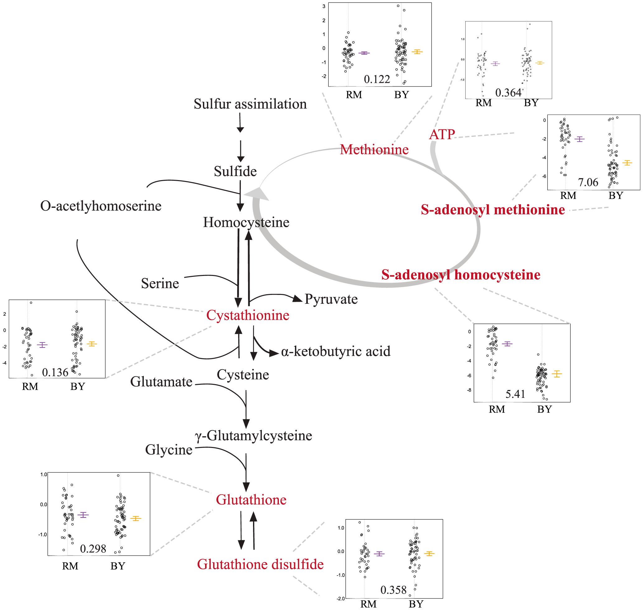 Levels of sulfur-assimilation intermediates differ based on the <i>slt2</i> allele inherited.