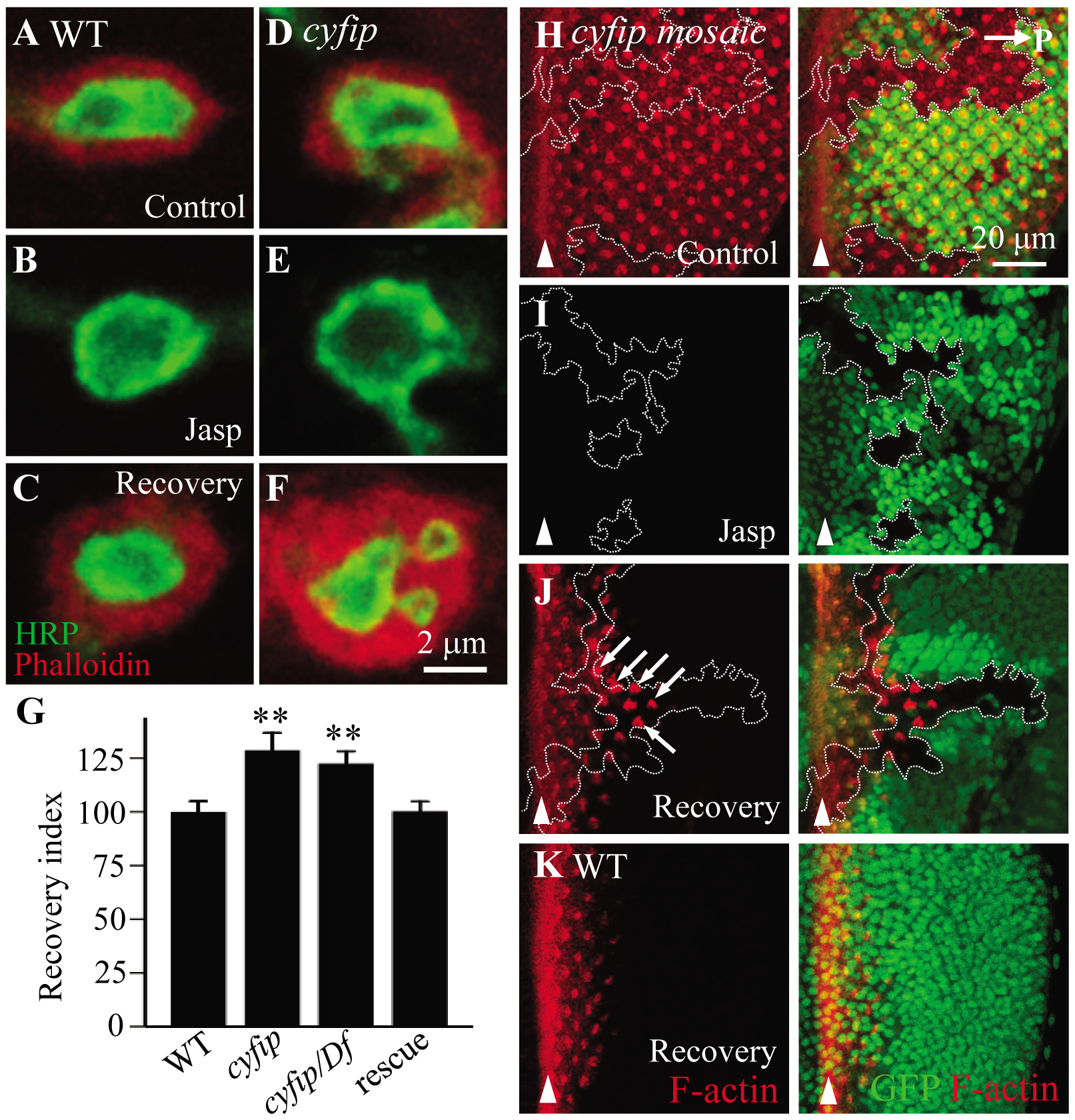 New F-actin assembly is enhanced in <i>cyfip</i> mutants.