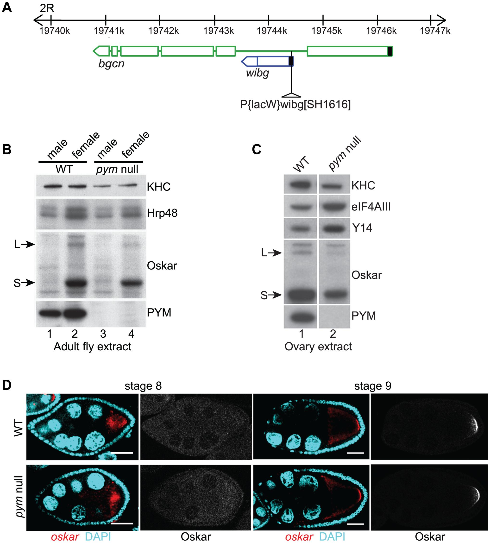 PYM is a non-essential gene in <i>Drosophila</i>.
